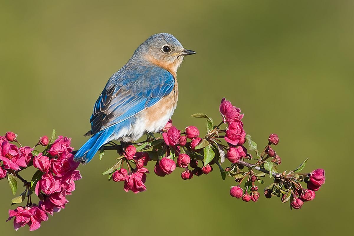 Bluebird FM posed on crabapple blossom SLIDESHOW