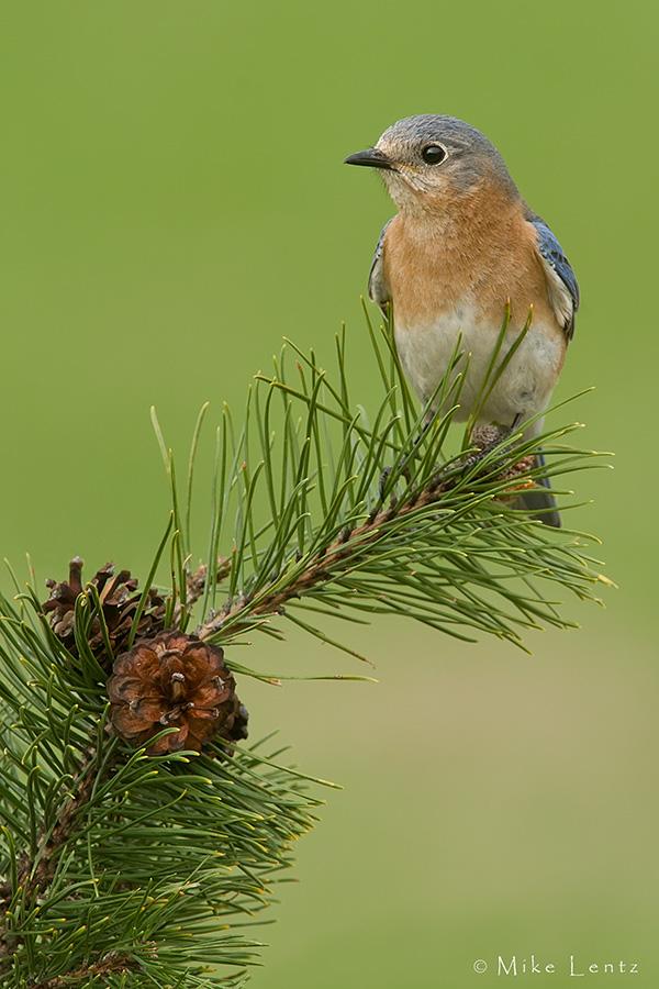 Bluebird FM vert pines PS2