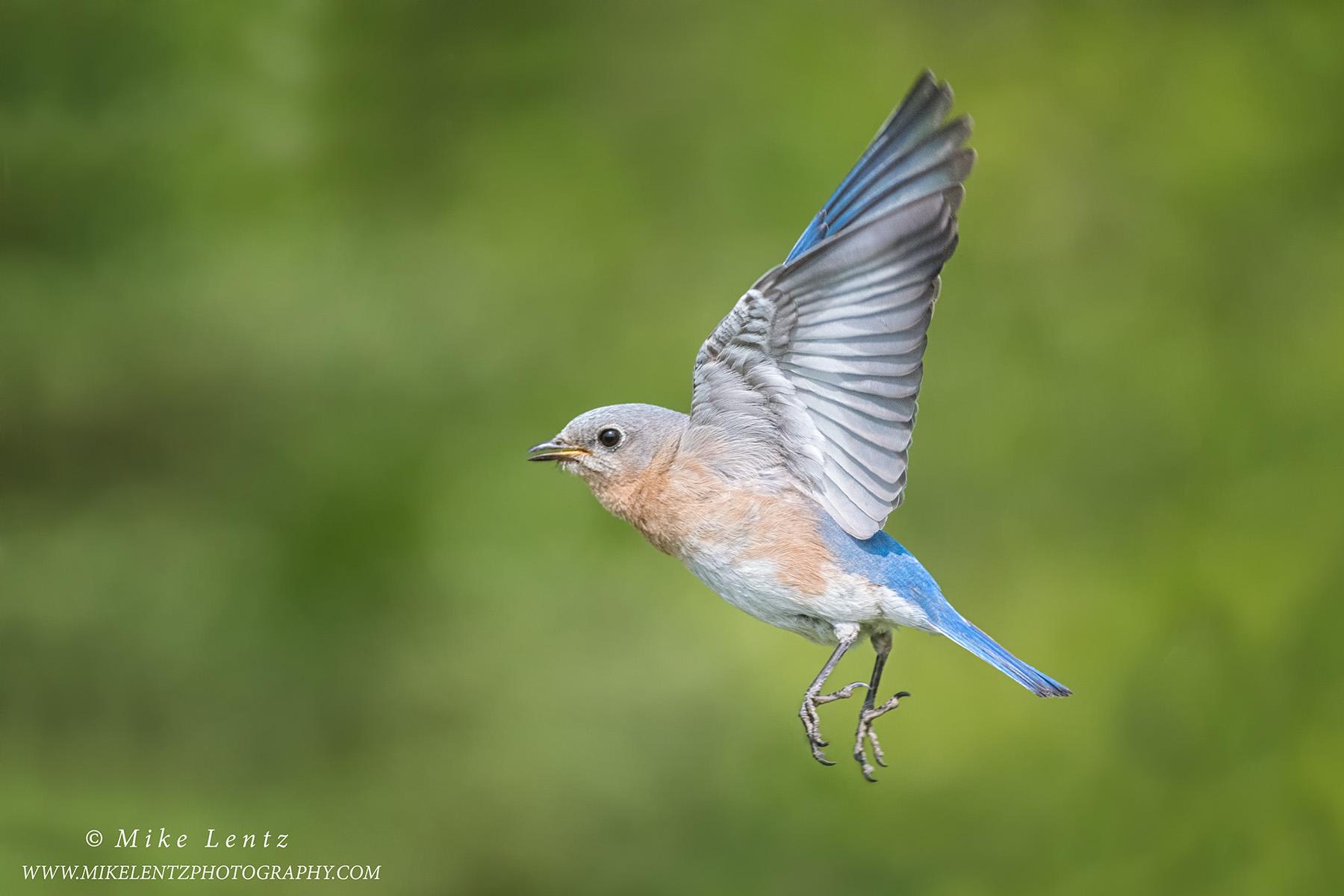 Bluebird female in flightPS2