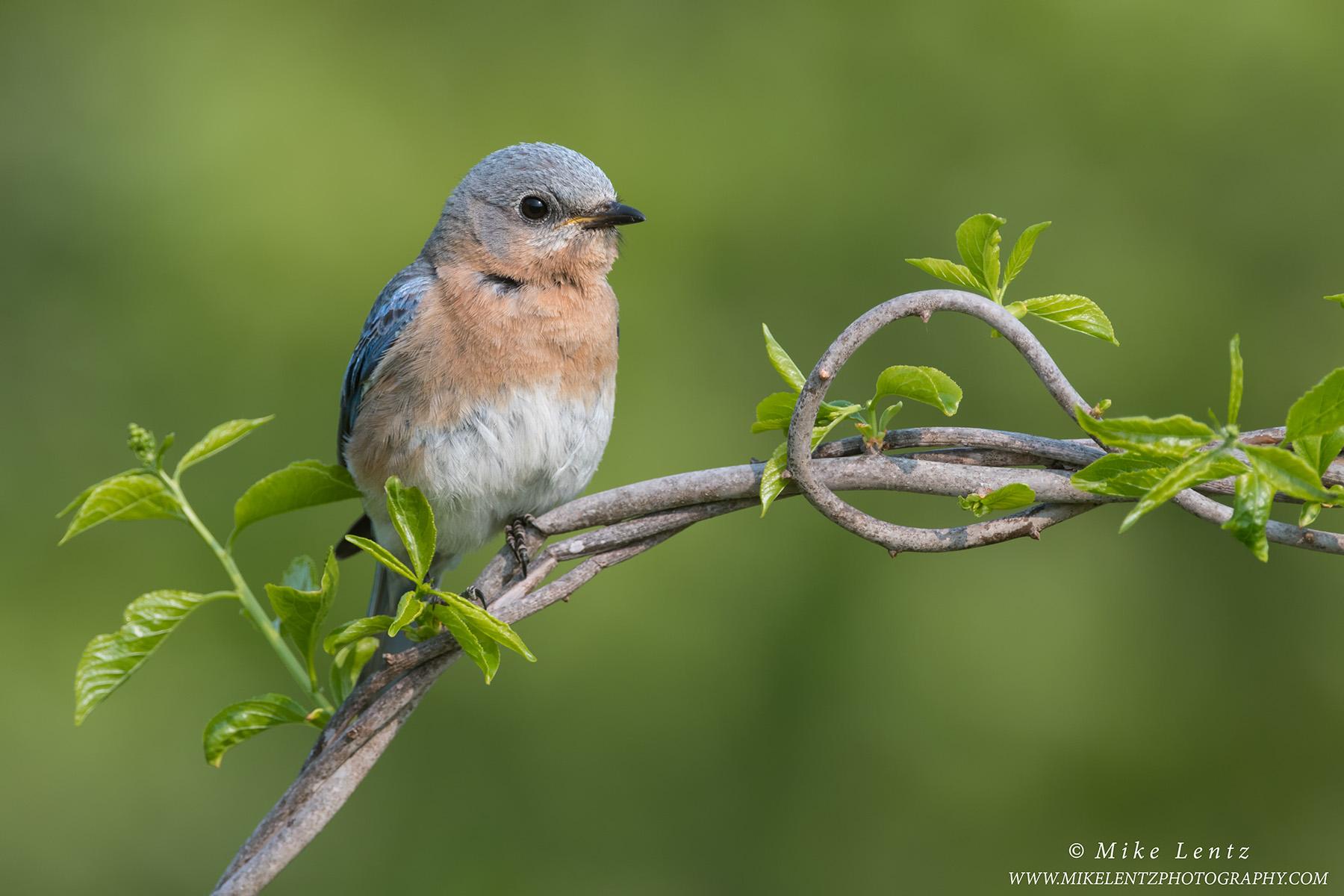 Bluebird female on vinesPS2