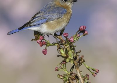 Bluebird female verticle on berry buds