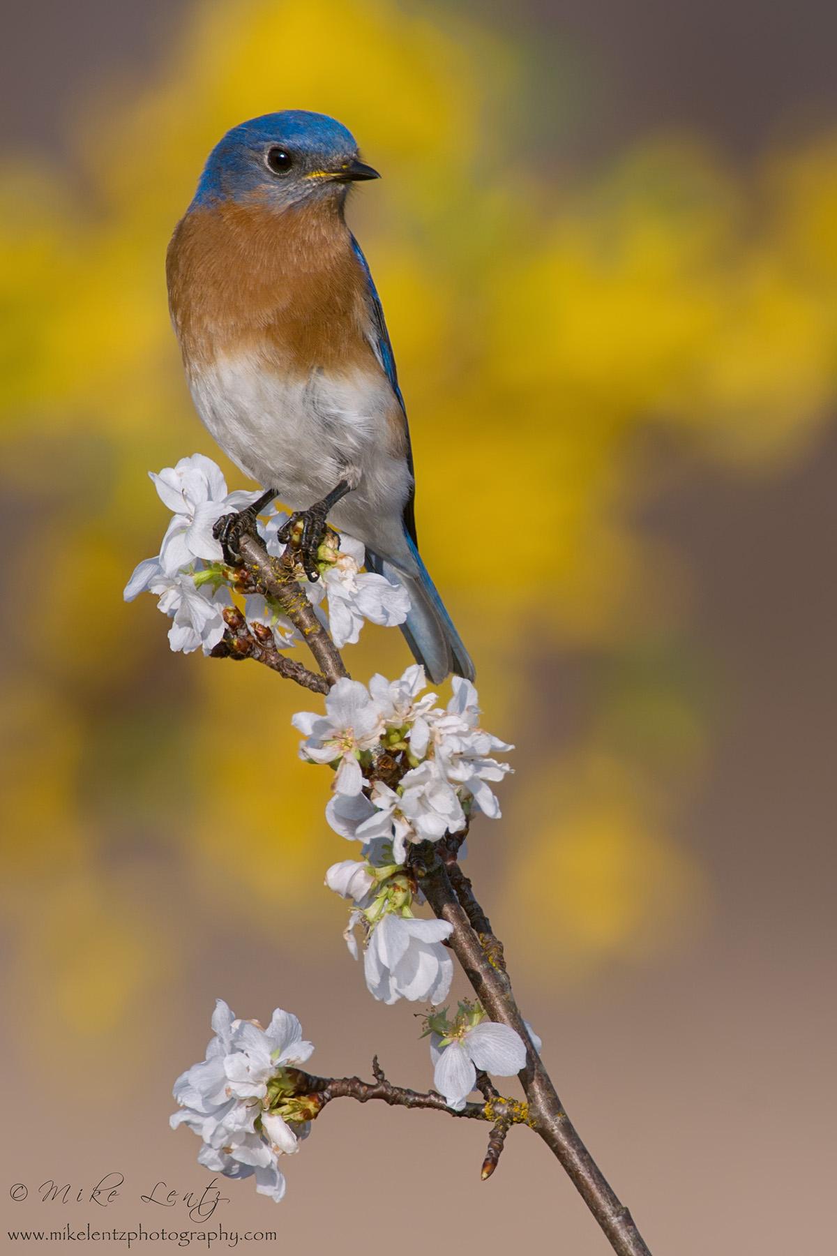 Bluebird flowery scene slideshow