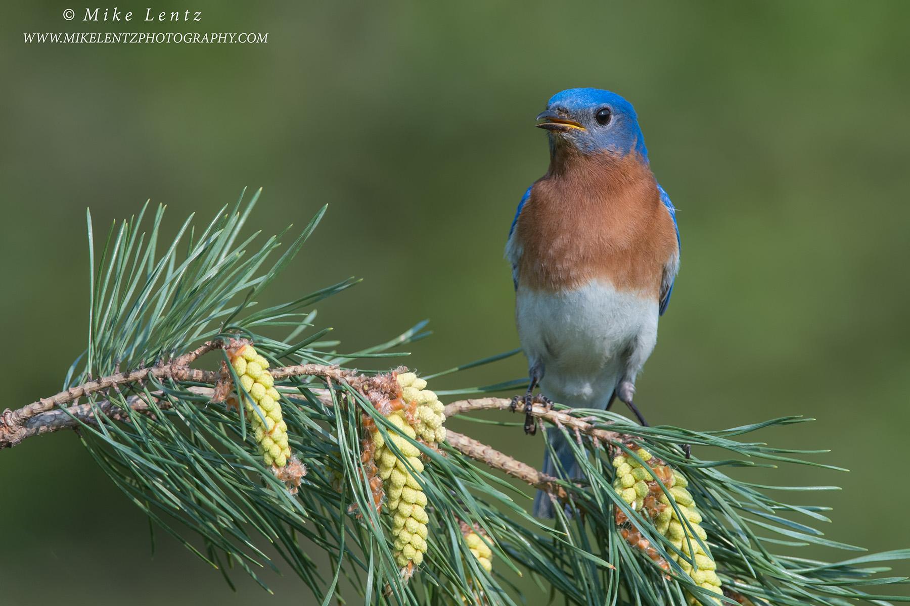 Bluebird horizontal on pinesPS2