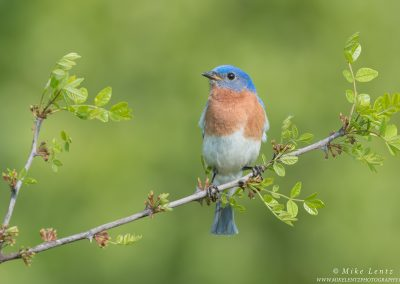 Bluebird horizontal on pricklyPS2