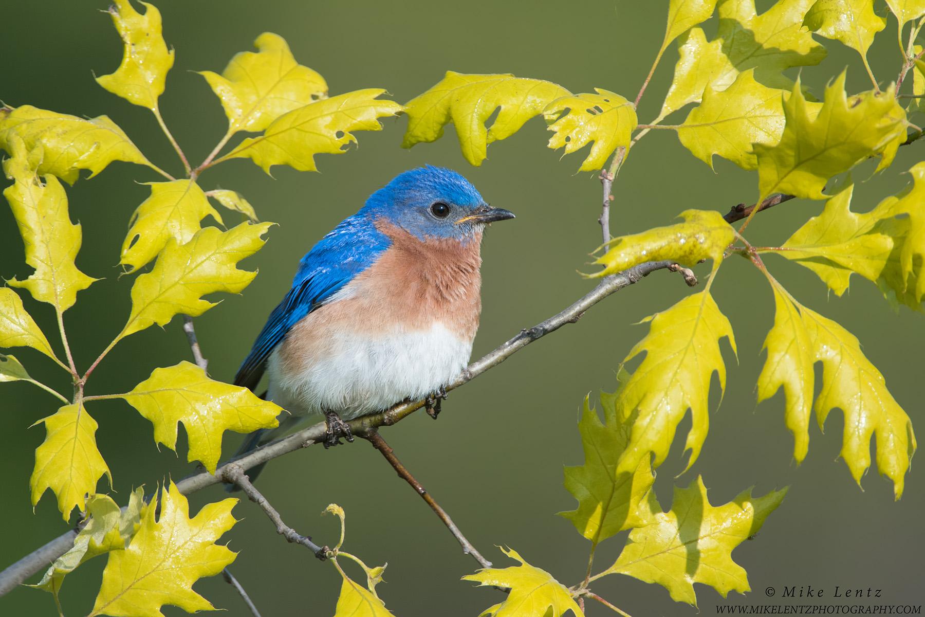Bluebird in emerging OakPS2