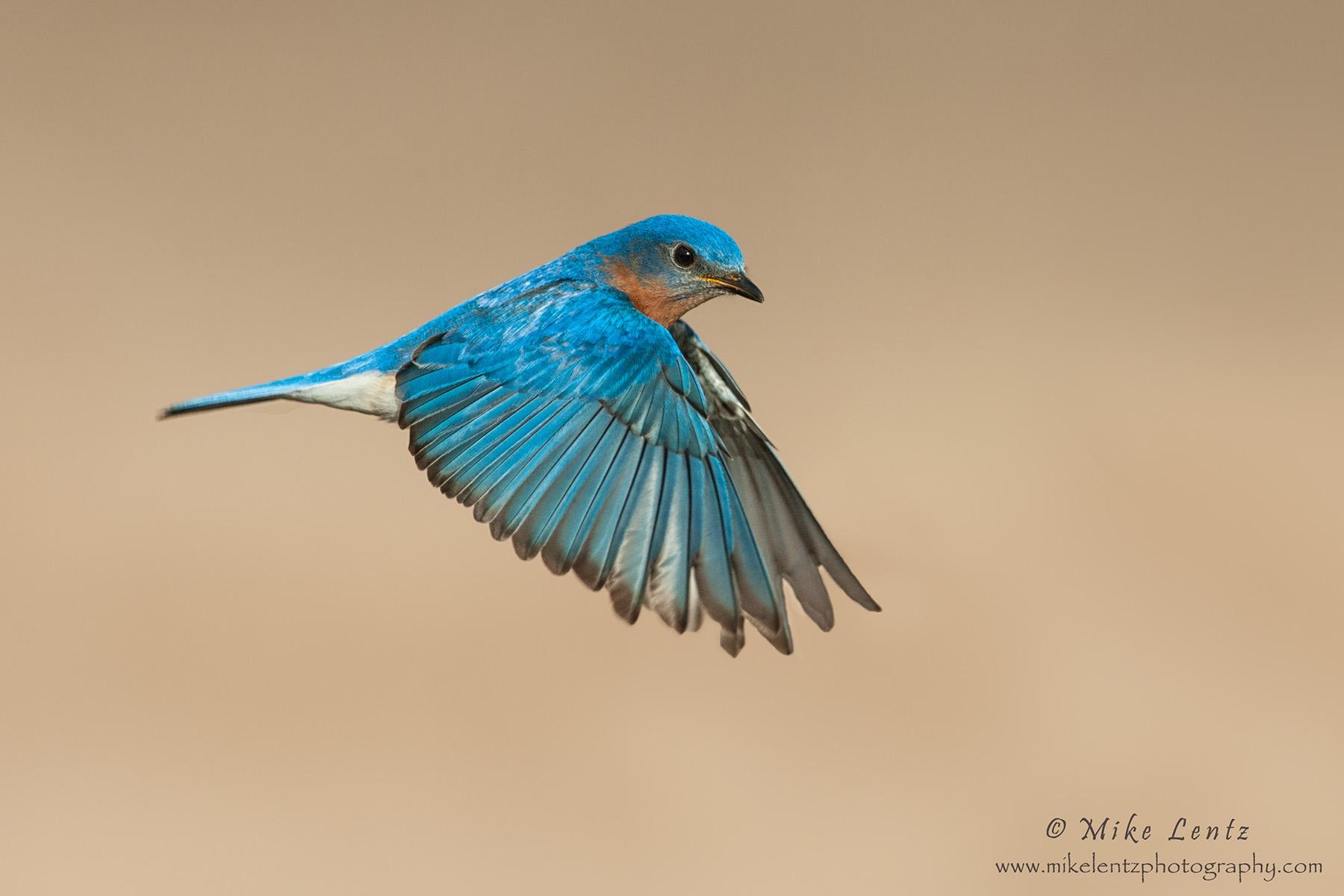 Bluebird in flight across field