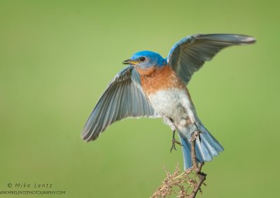 Bluebird leaps off perchPS2