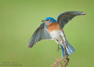 Bluebird leaps off perchPS2