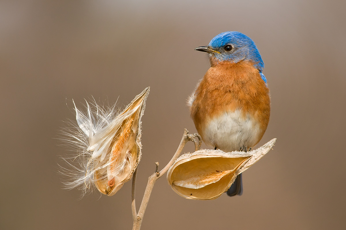 Bluebird on milkweed