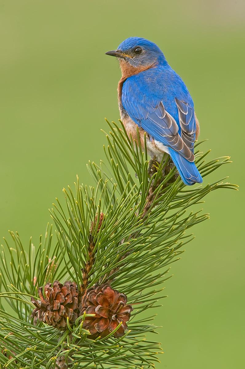 Bluebird male vert on pines SLIDESHOW