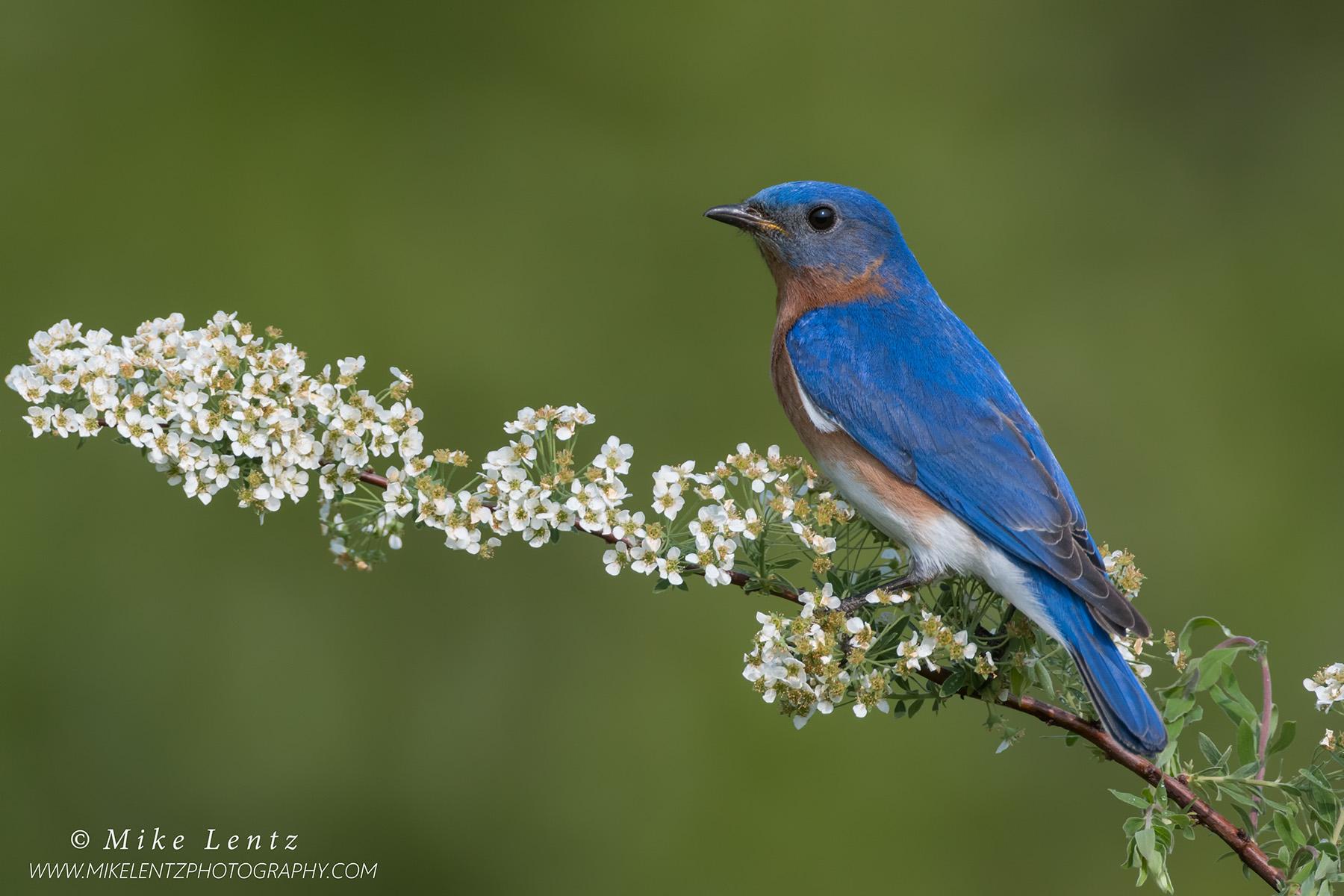 Bluebird on SpireaPS2