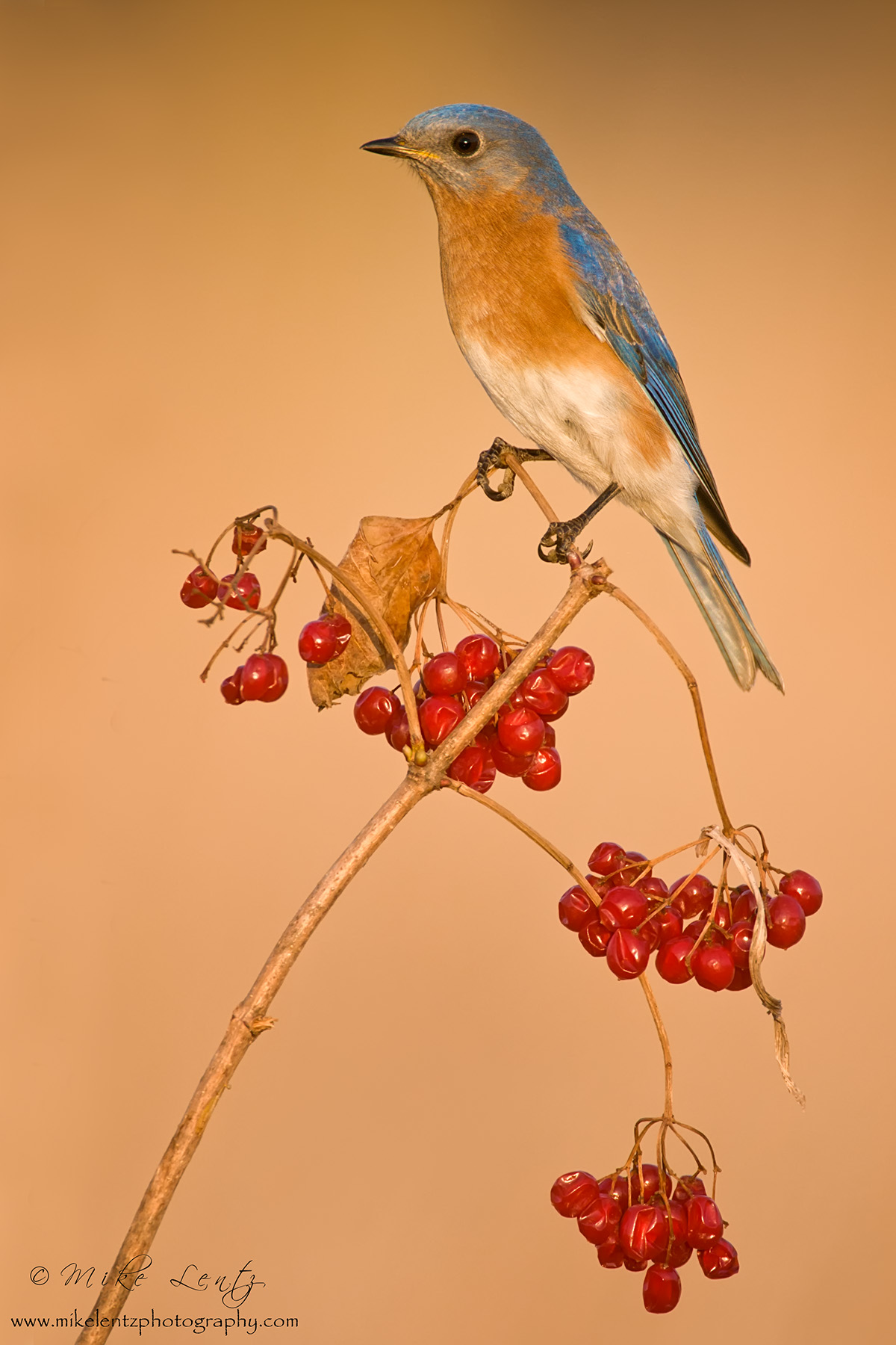 Bluebird on berries slideshow