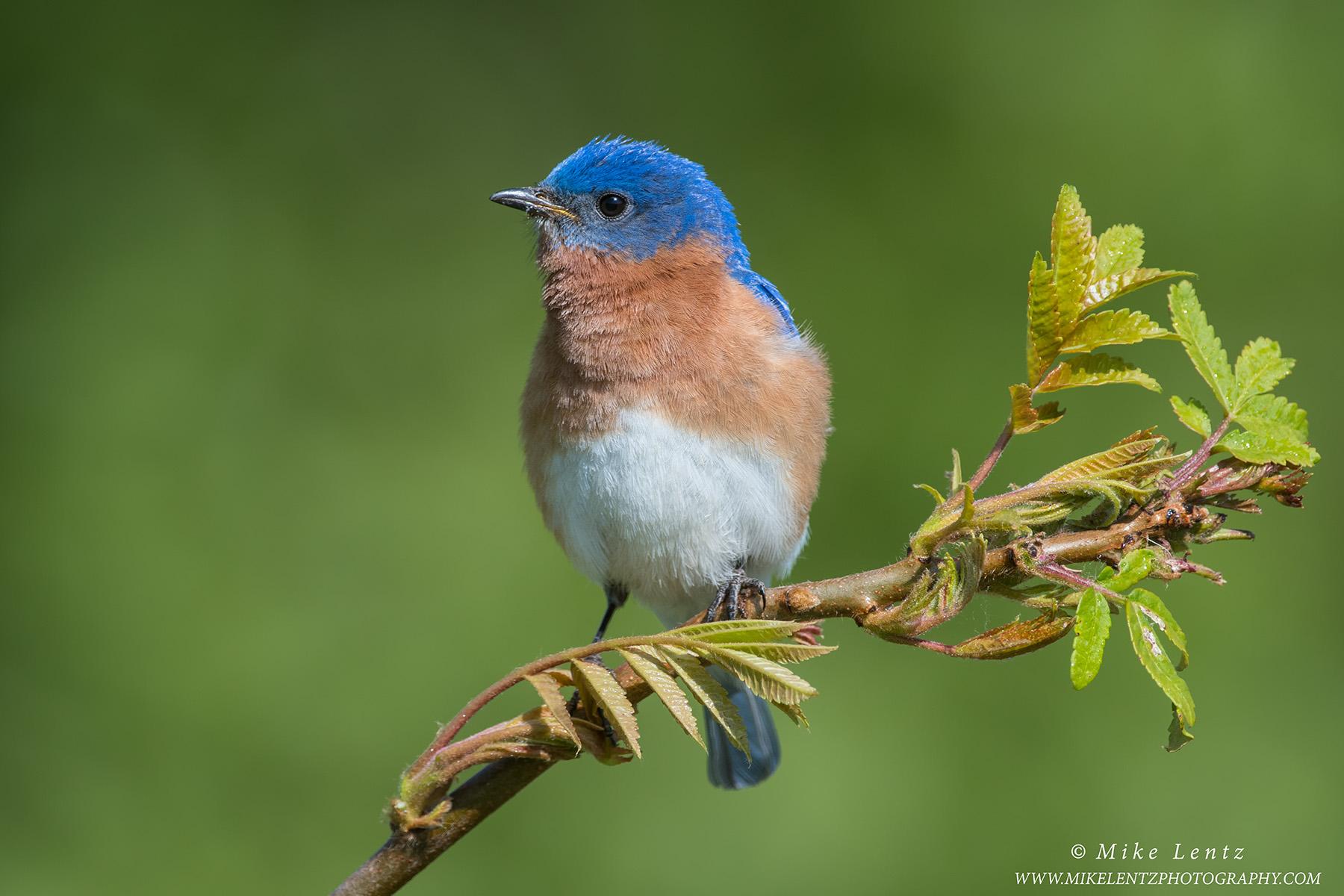 Bluebird on emerging SumacPS2