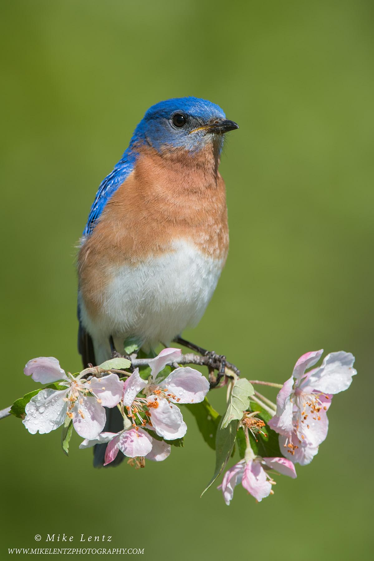 Bluebird on pink blossumsPS2