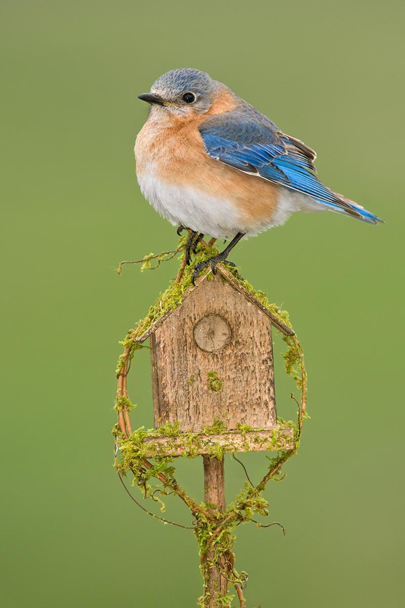 Eastern Bluebird on bird house