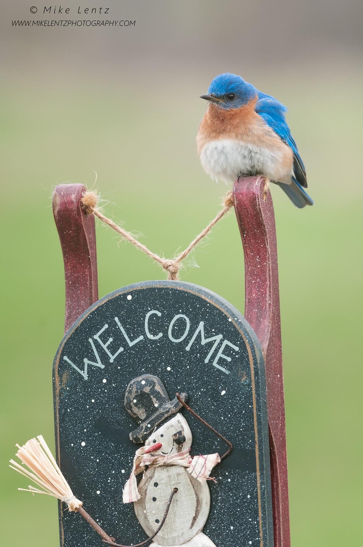 Bluebird on snowy Welcome signPSA2