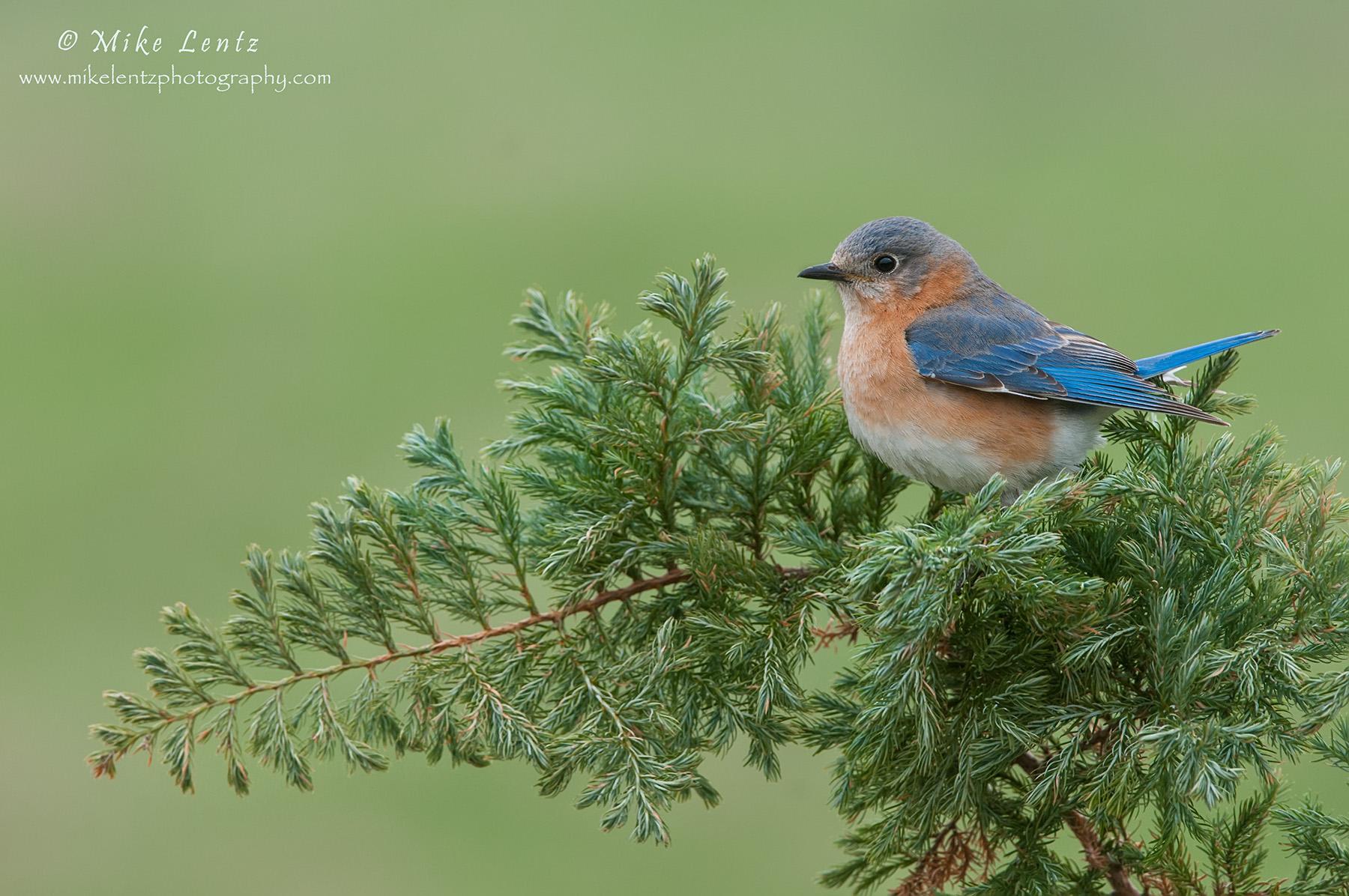 Bluebird on soft pines