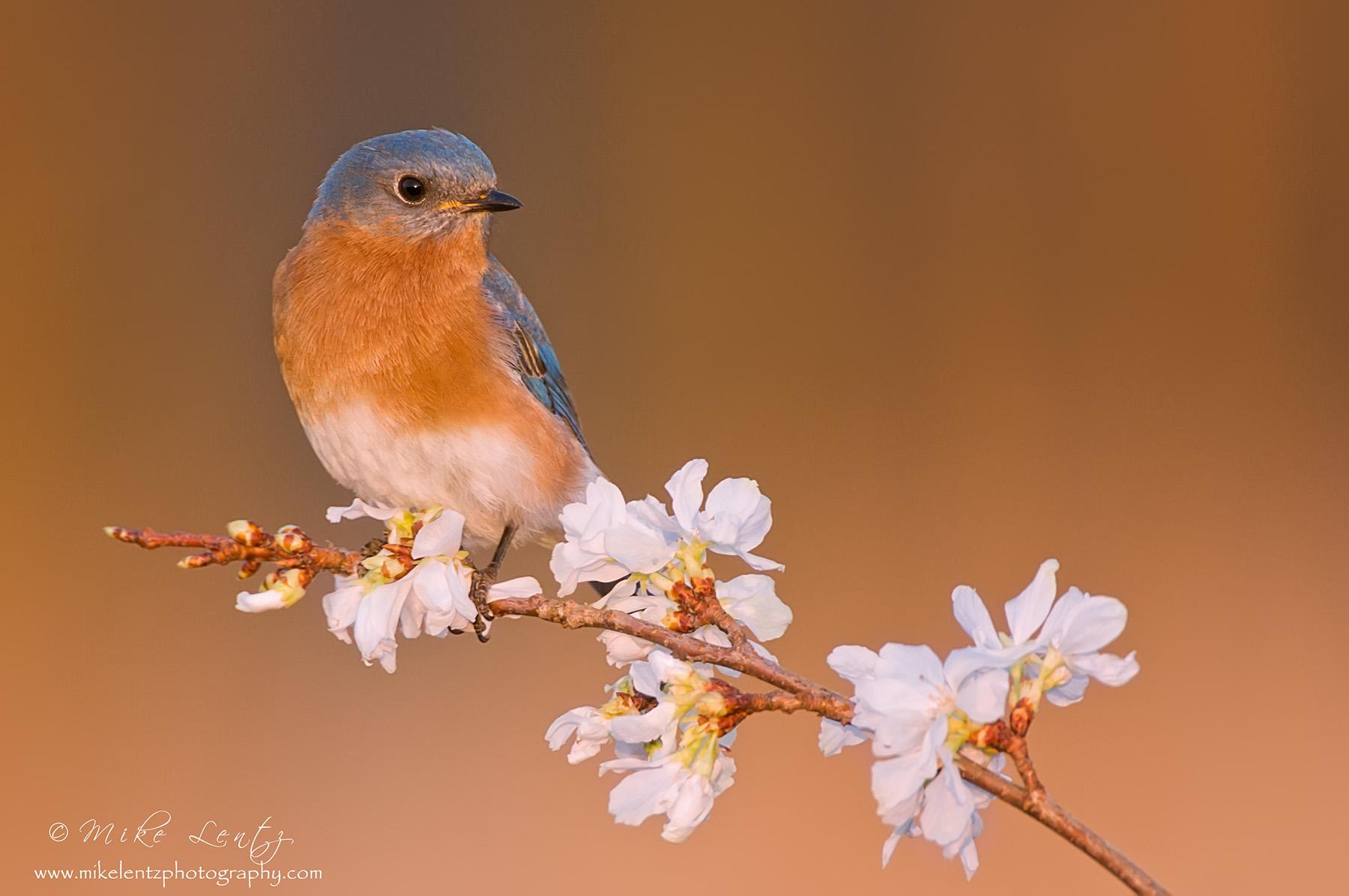 Bluebird on white flowers