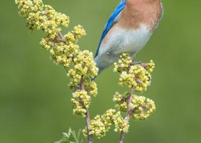 Bluebird stoic clump bushPS2,jpg