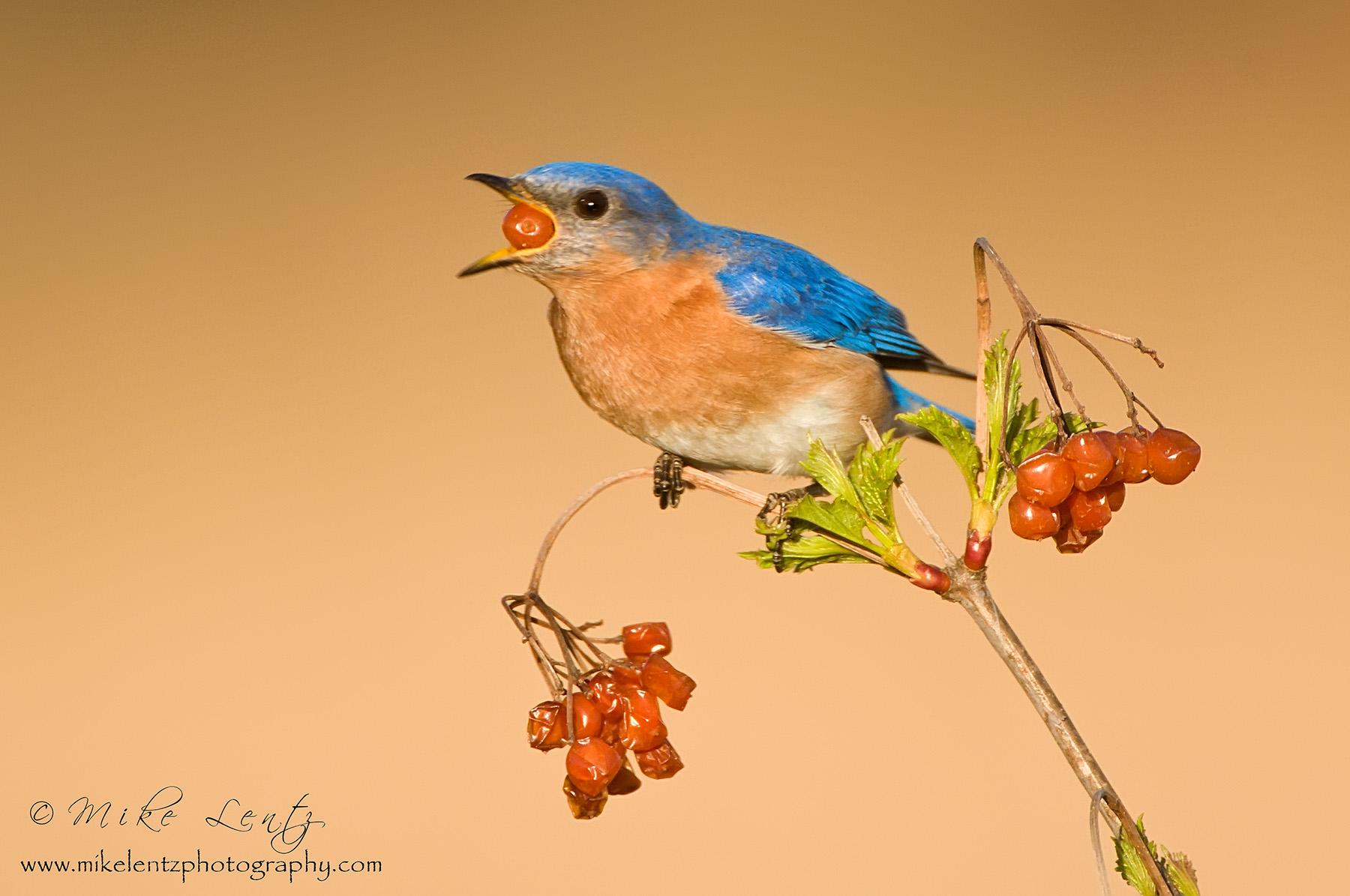 Bluebird swallows berry