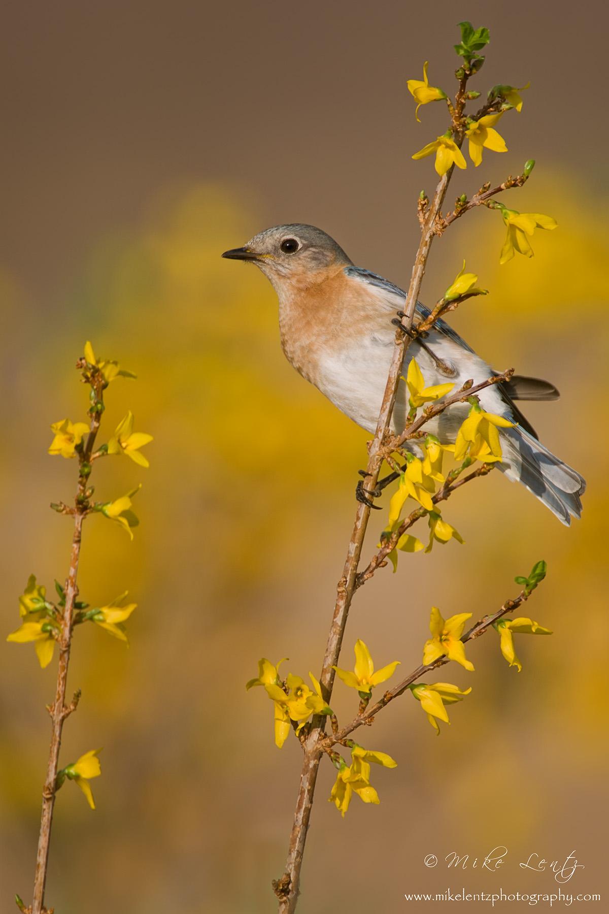 Bluebird vert on Forsynthia