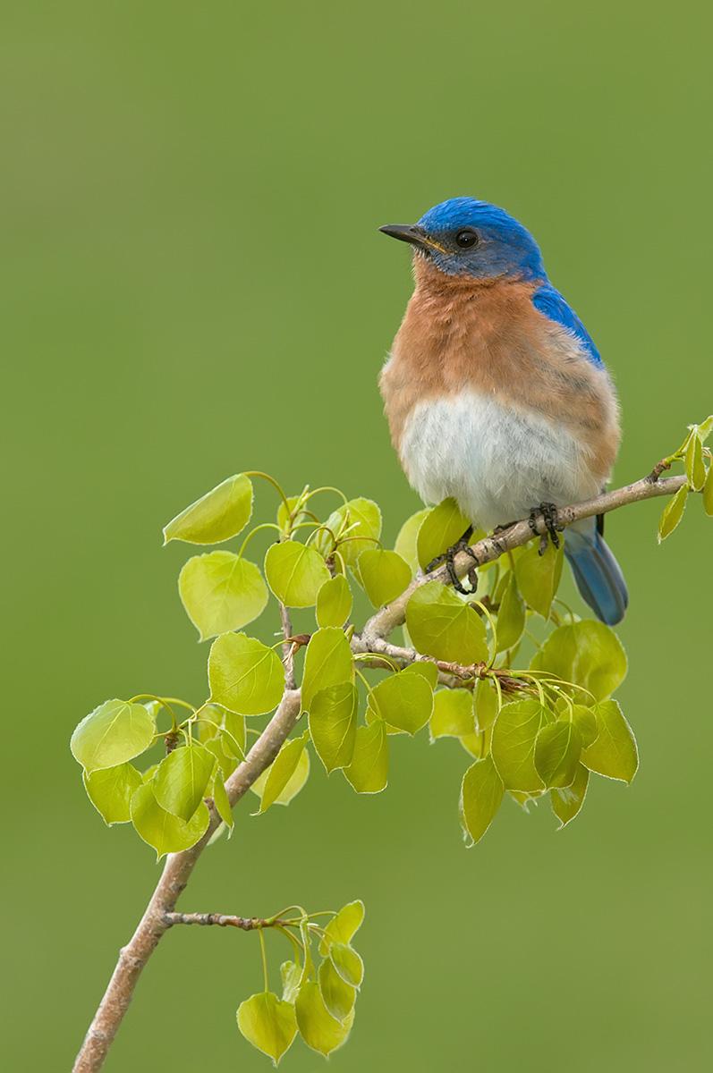 Bluebird vert on birch SLIDESHOW