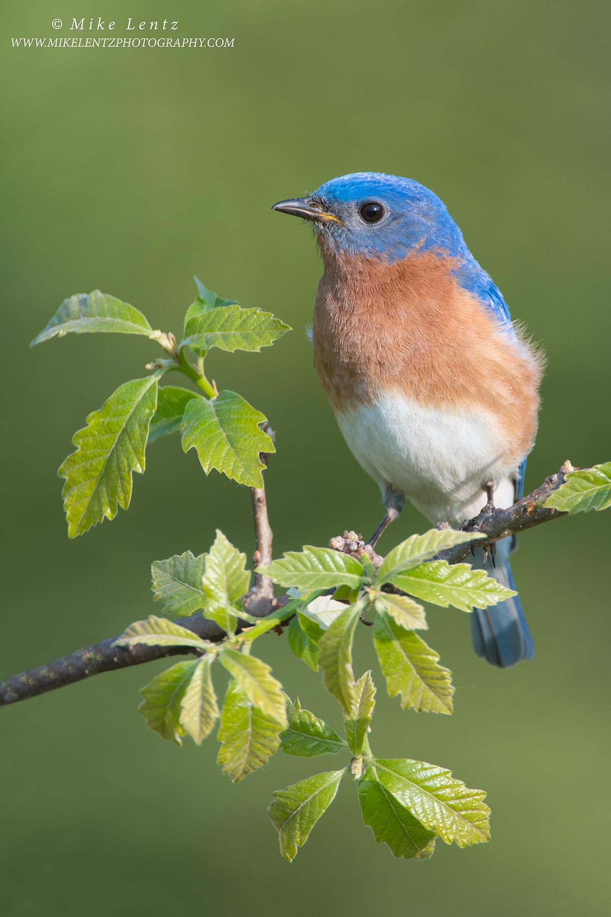 Bluebird vert on emerging ElmPS2