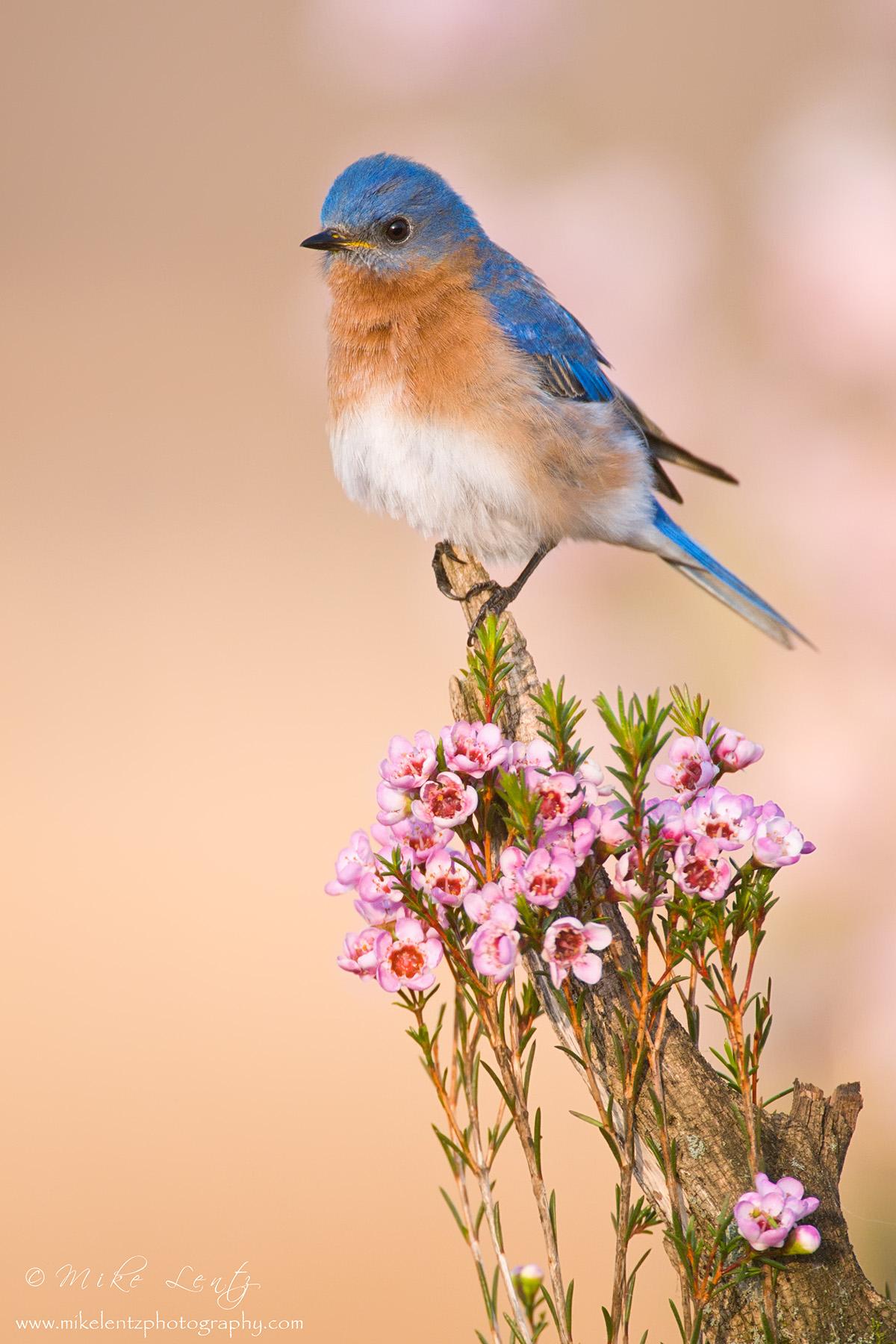Bluebird vert on flowered perch slideshow