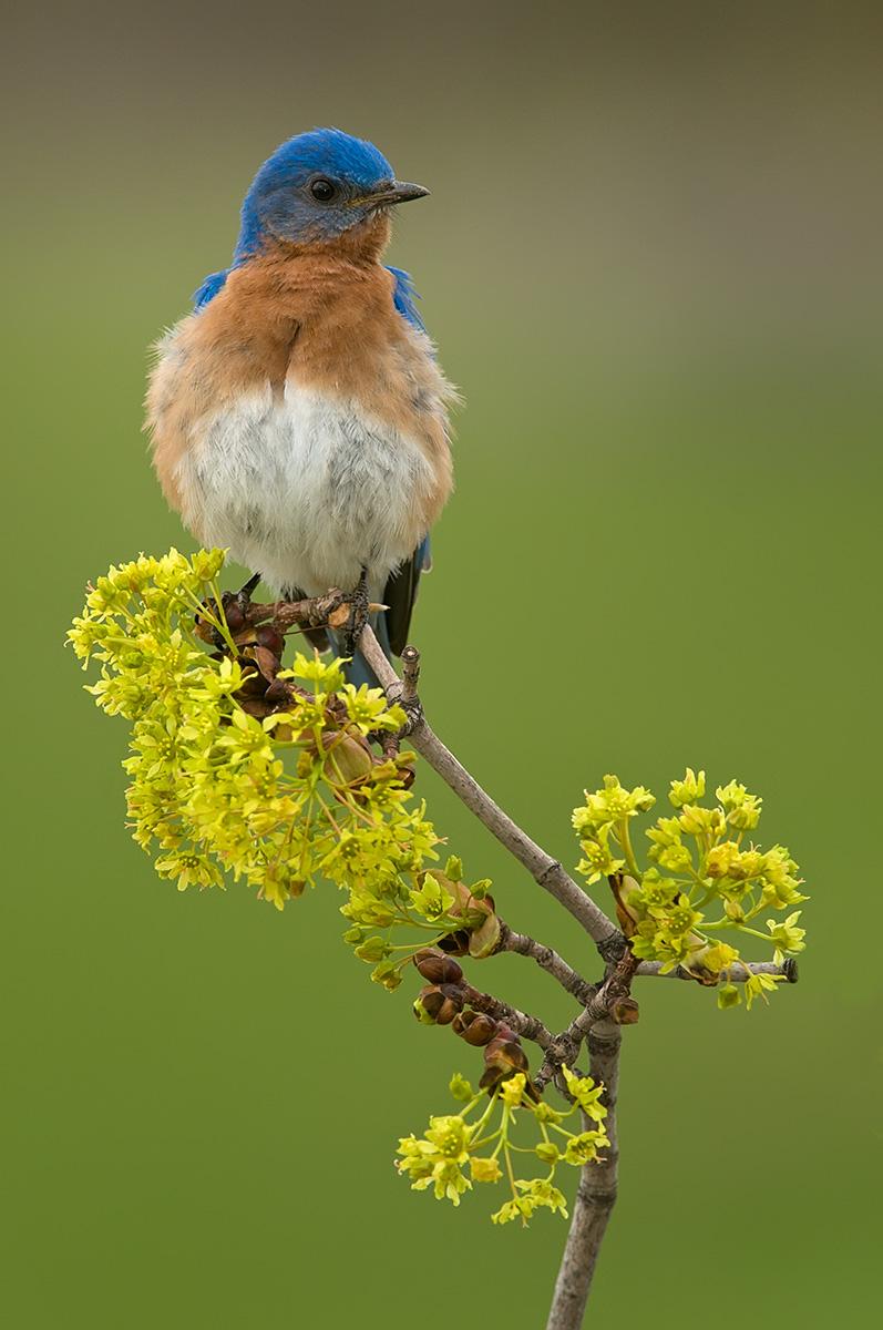 Bluebird vert zigs SLIDESHOW