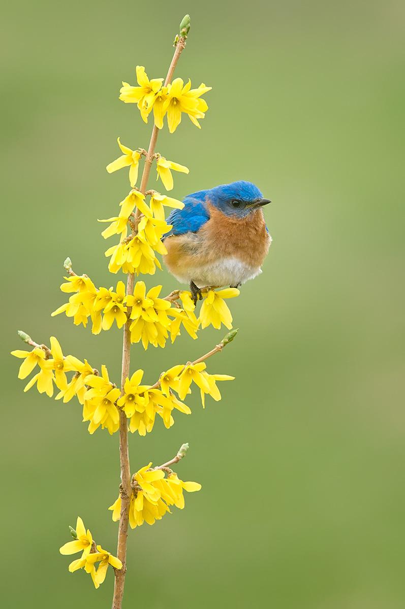Bluebird verticle forsynthia SHIDESHOW