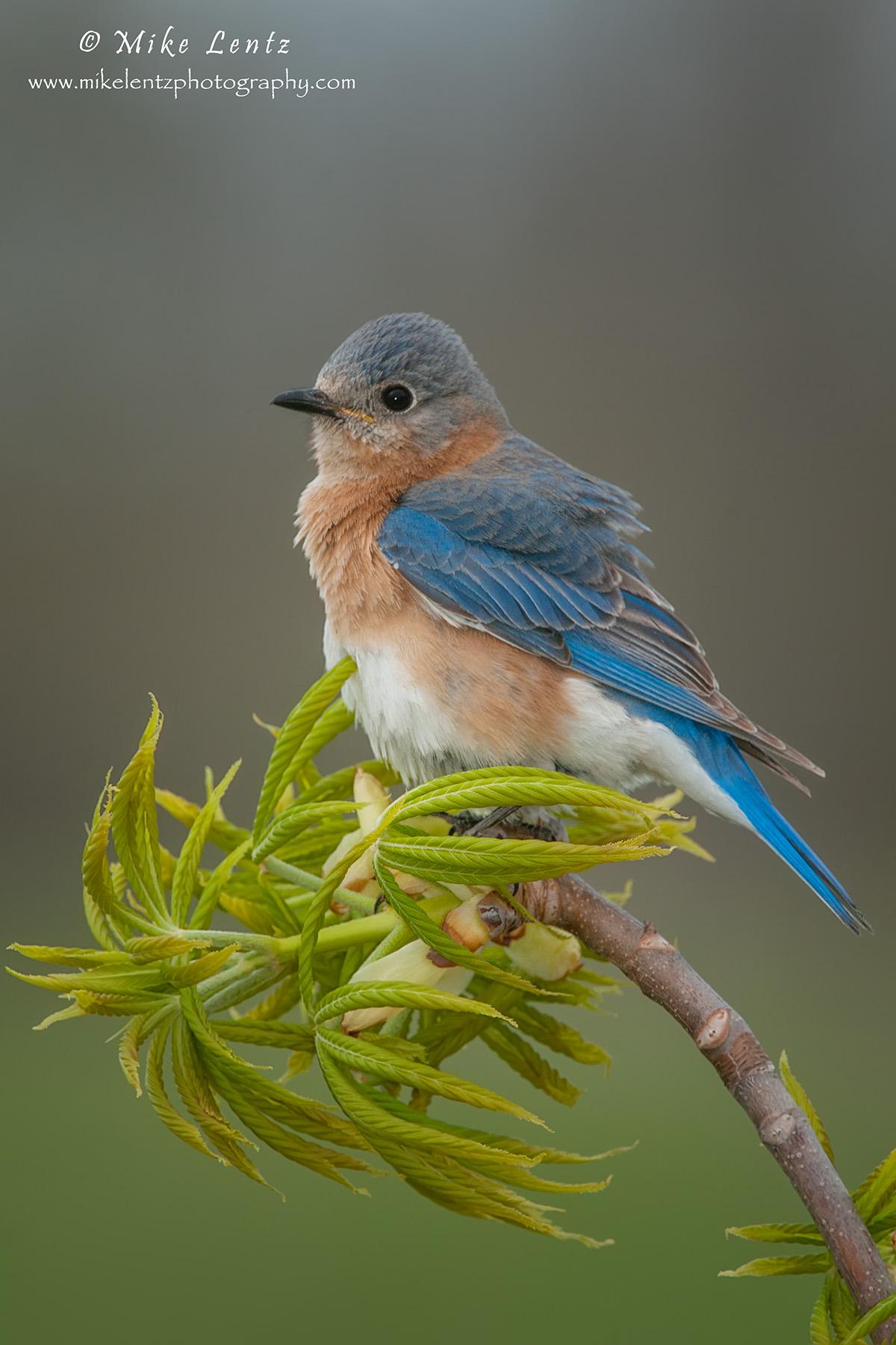 Bluebird verticle on plush perch