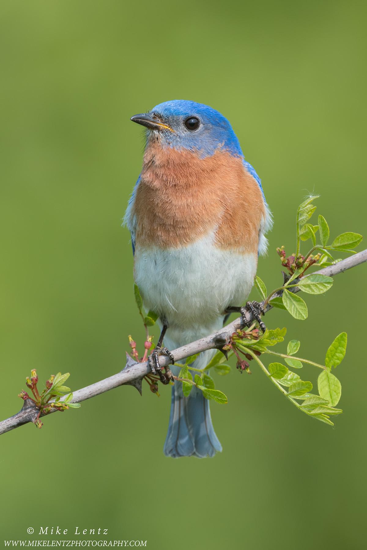 Bluebird verticle on pricklyPS2