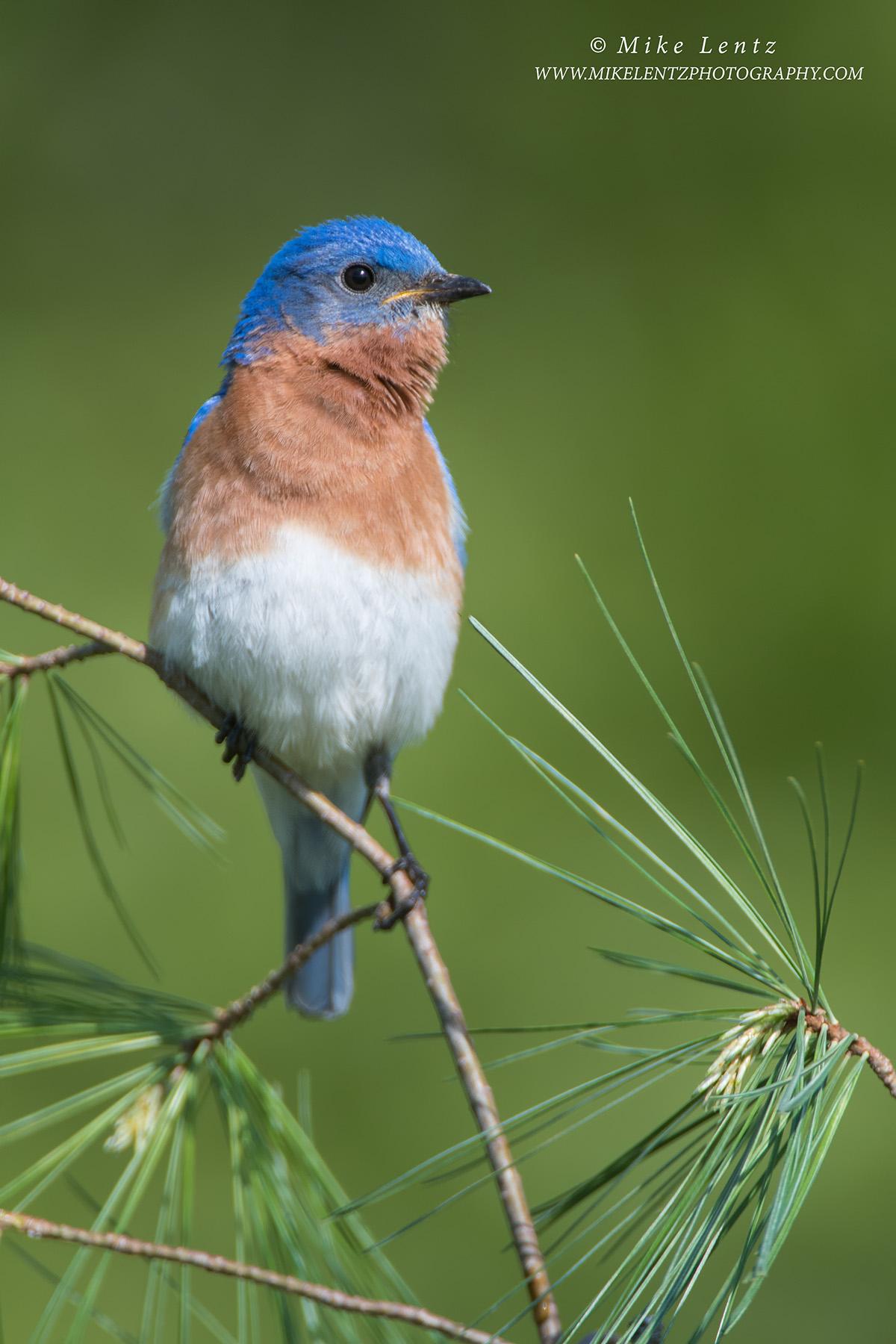 Bluebird verticle on white pinesPS2