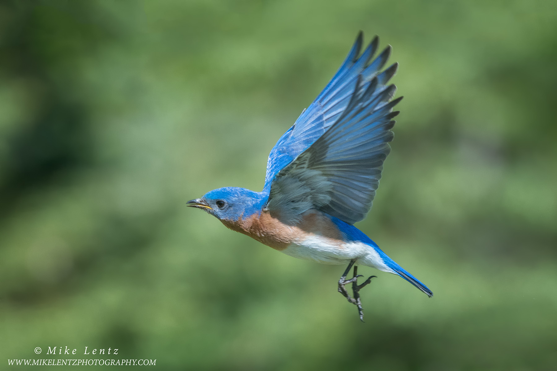 Bluebird wings up in flightPS2,jpg