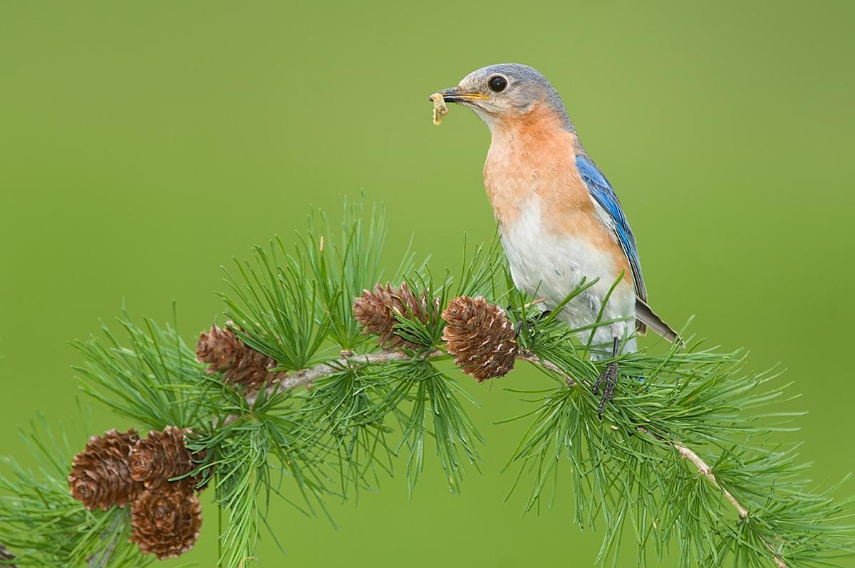 Eastern Bluebird on Tamarack needles