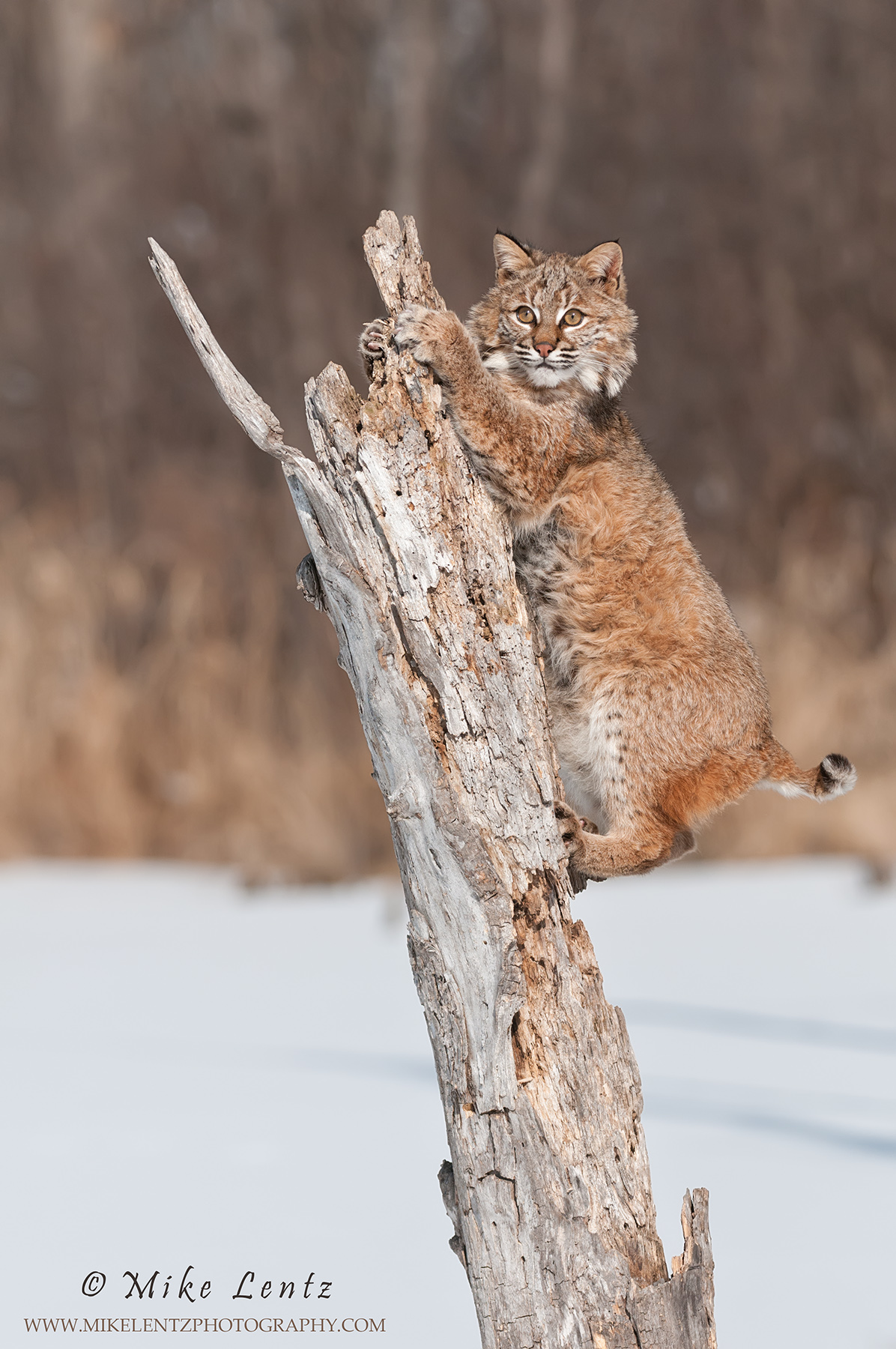 Bobcat climbs up dead stump