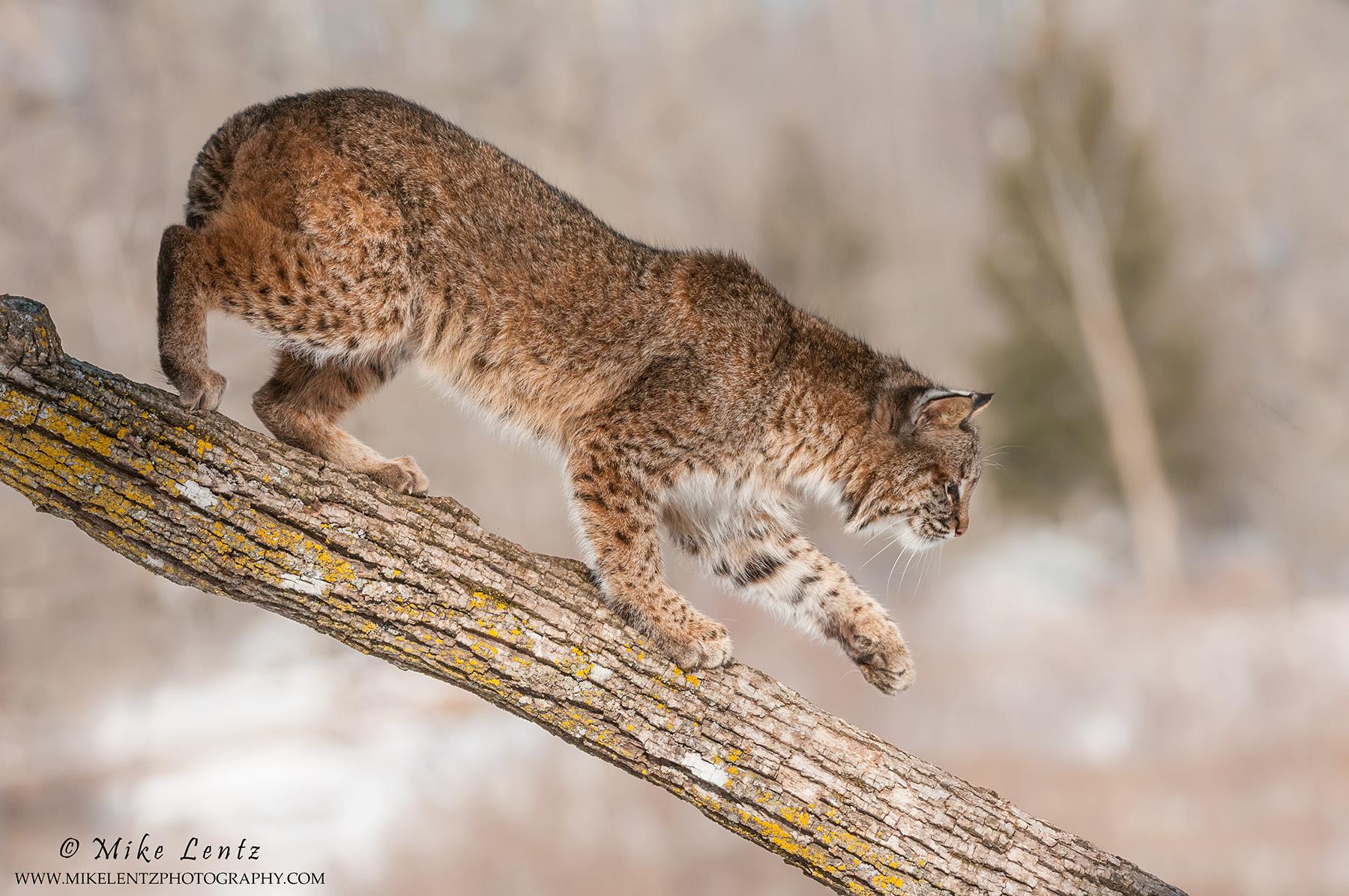 Bobcat goes down tree