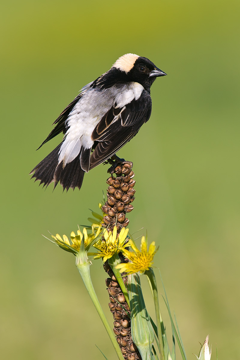 Bobolink backside SLIDESHOW