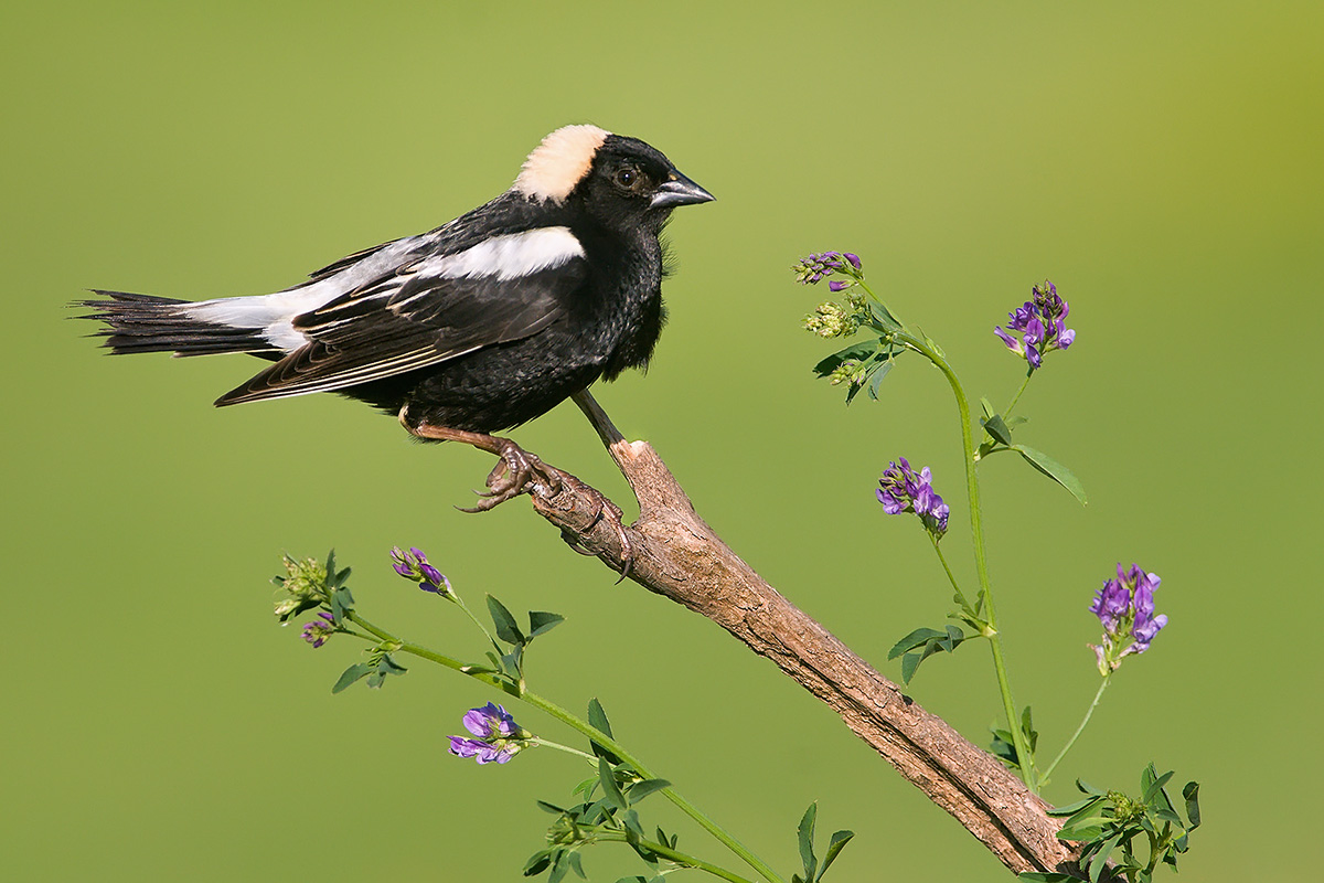 Bobolink in field on nice perch SLIDESHOW