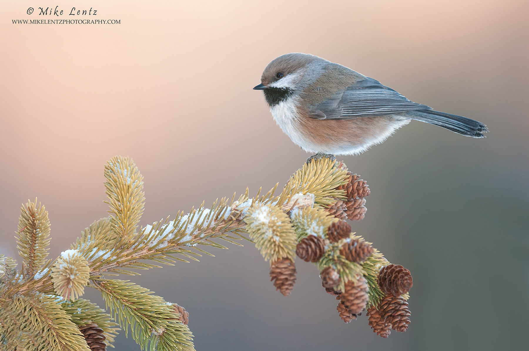 Boreal Chickadee up high on pine corner