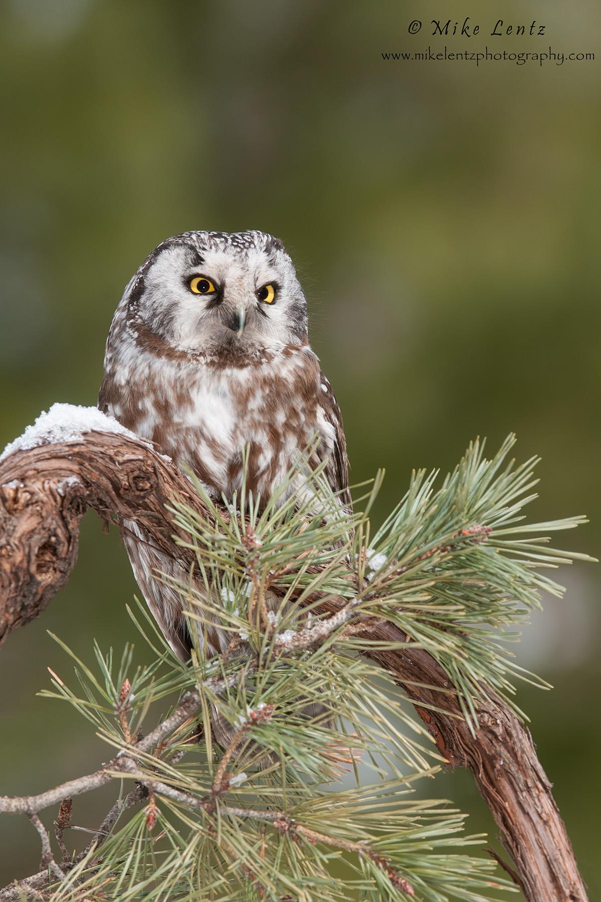 Boreal Owl BEAUTY