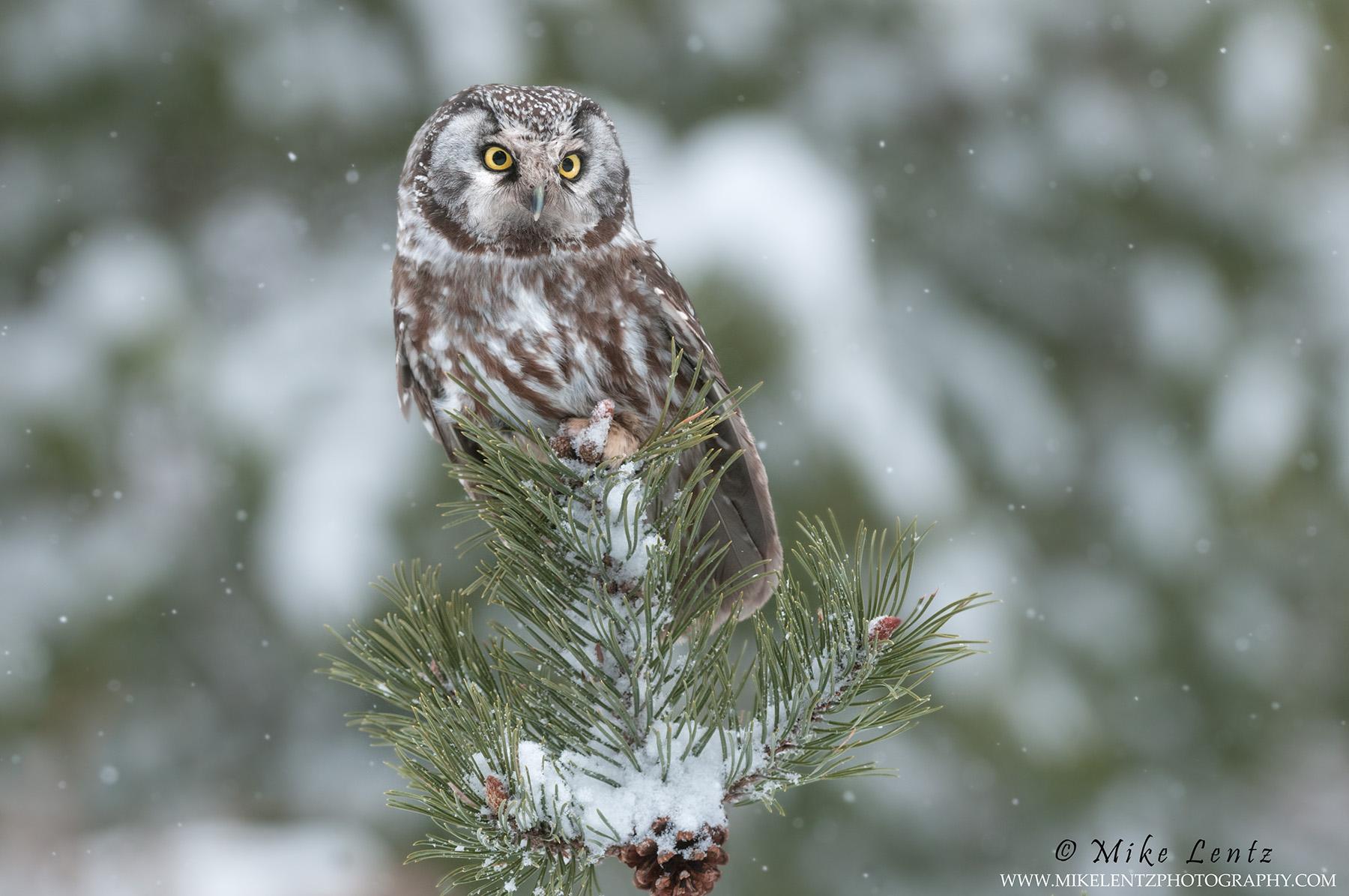Boreal Owl alert in snowfall