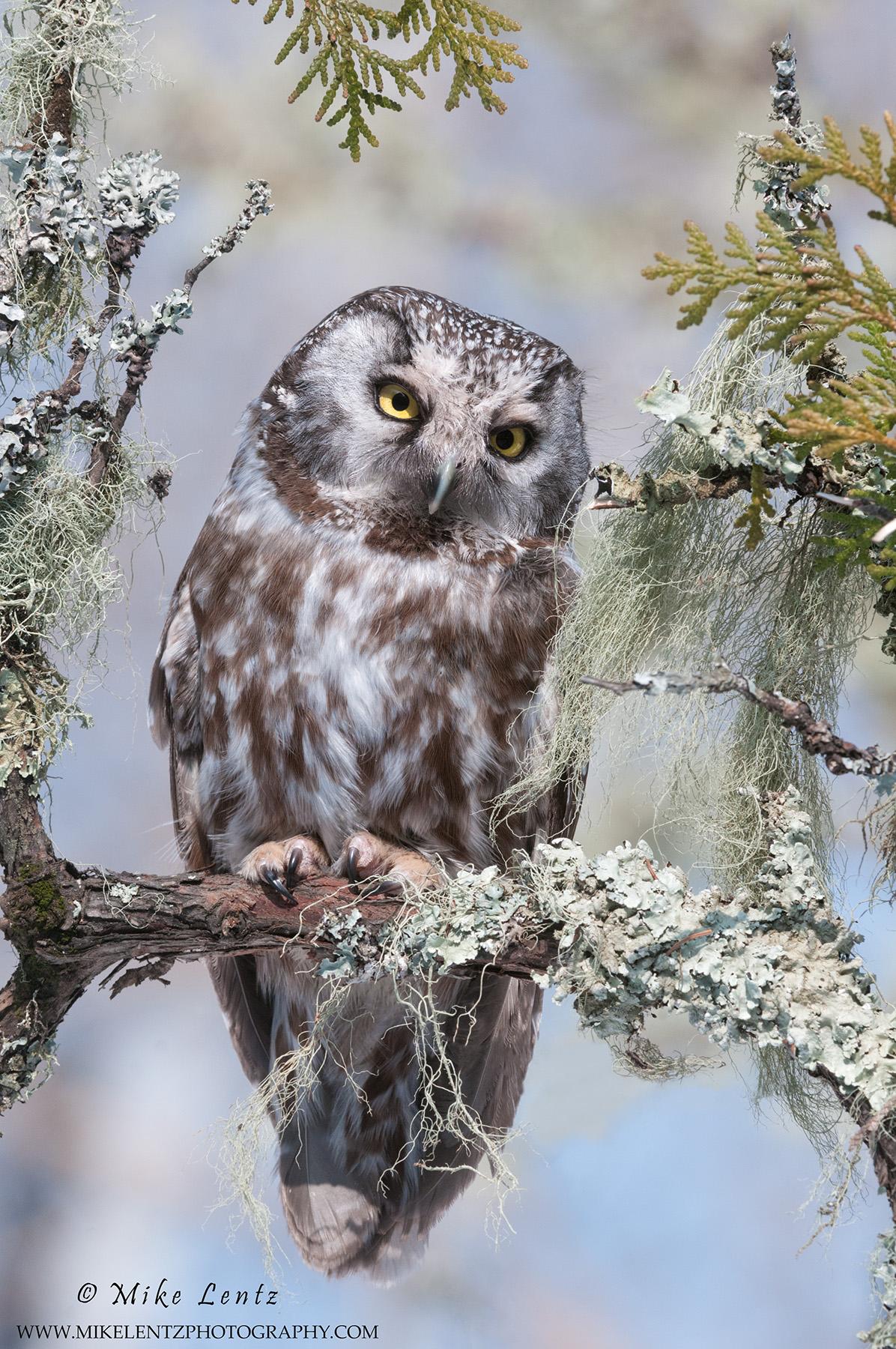 Boreal Owl deep woods