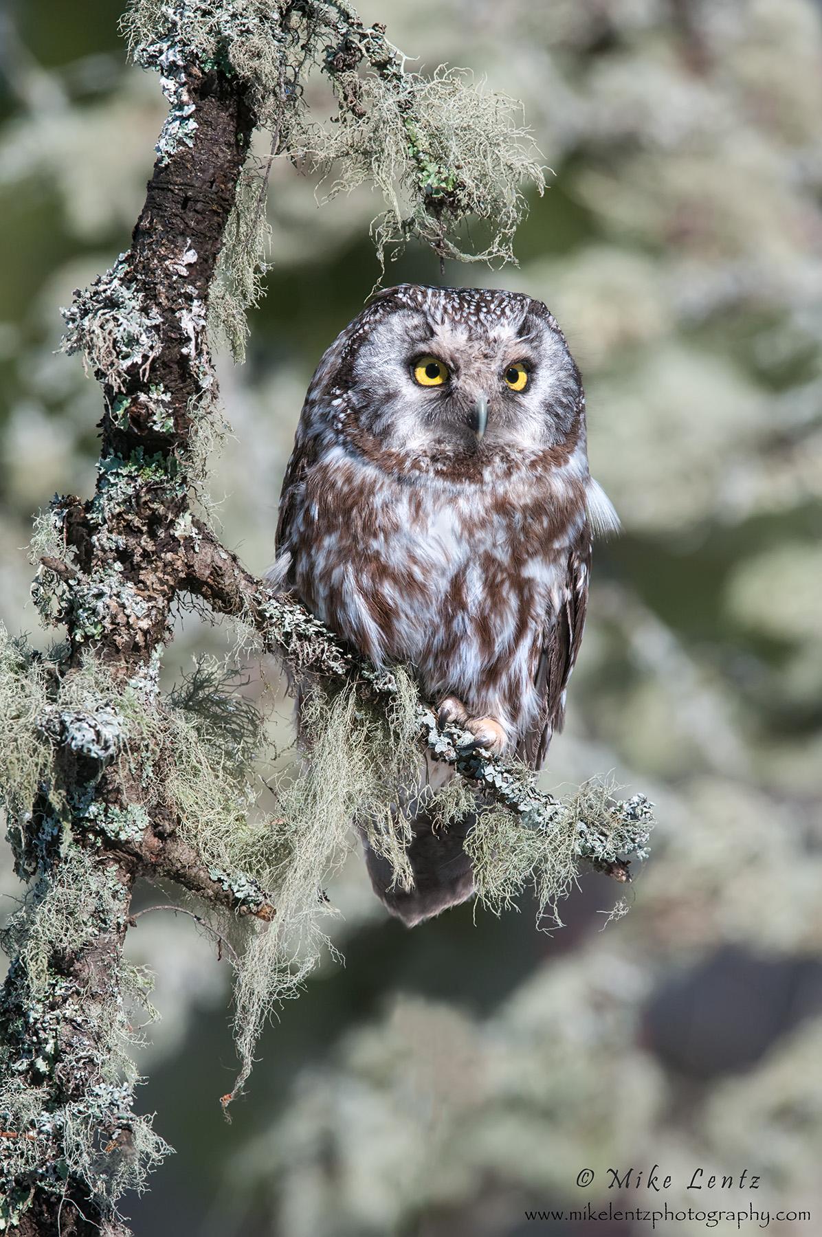 Boreal Owl hidden in lichen verticle