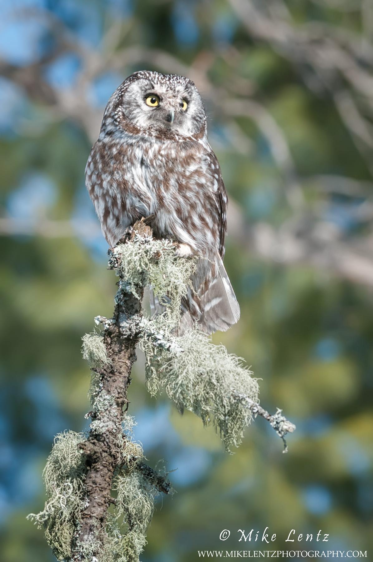 Boreal Owl high on perch