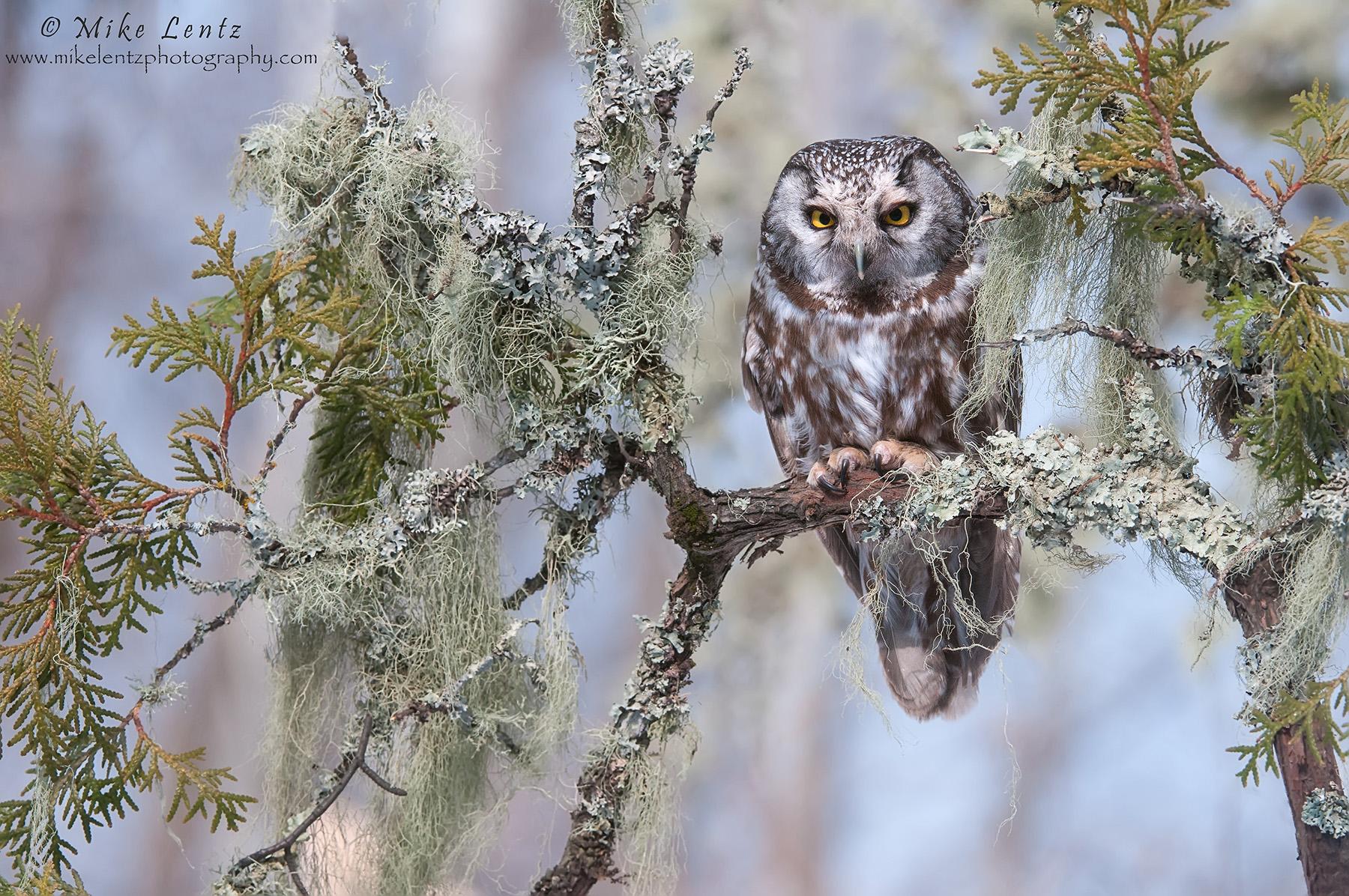 Boreal Owl in boreal habitat
