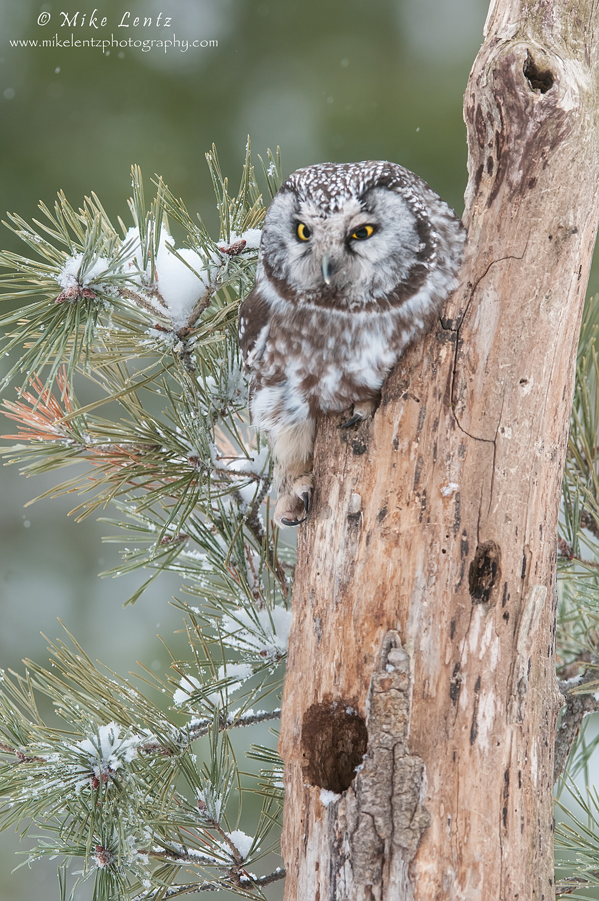Boreal Owl on dead tree