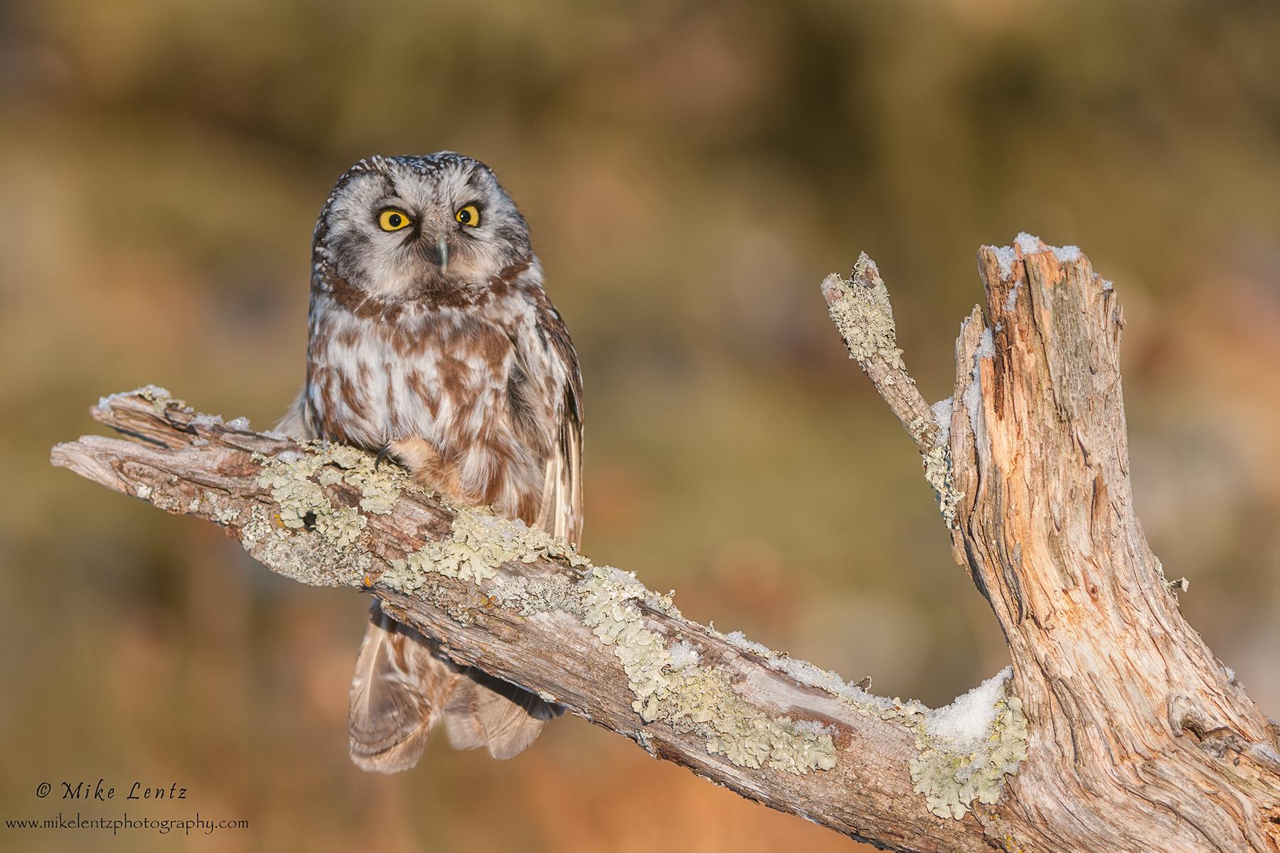 Boreal Owl on horizontal log