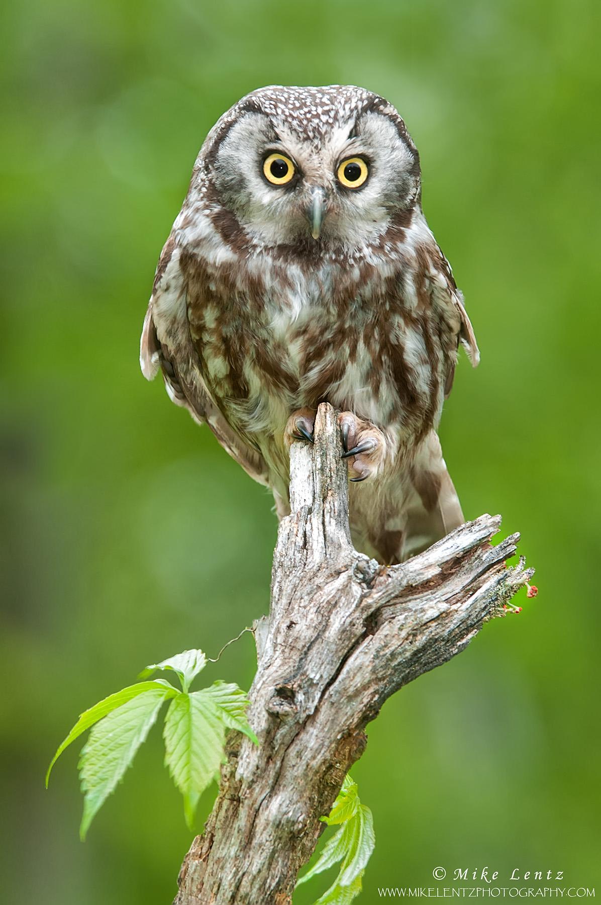 Boreal Owl on log with vine