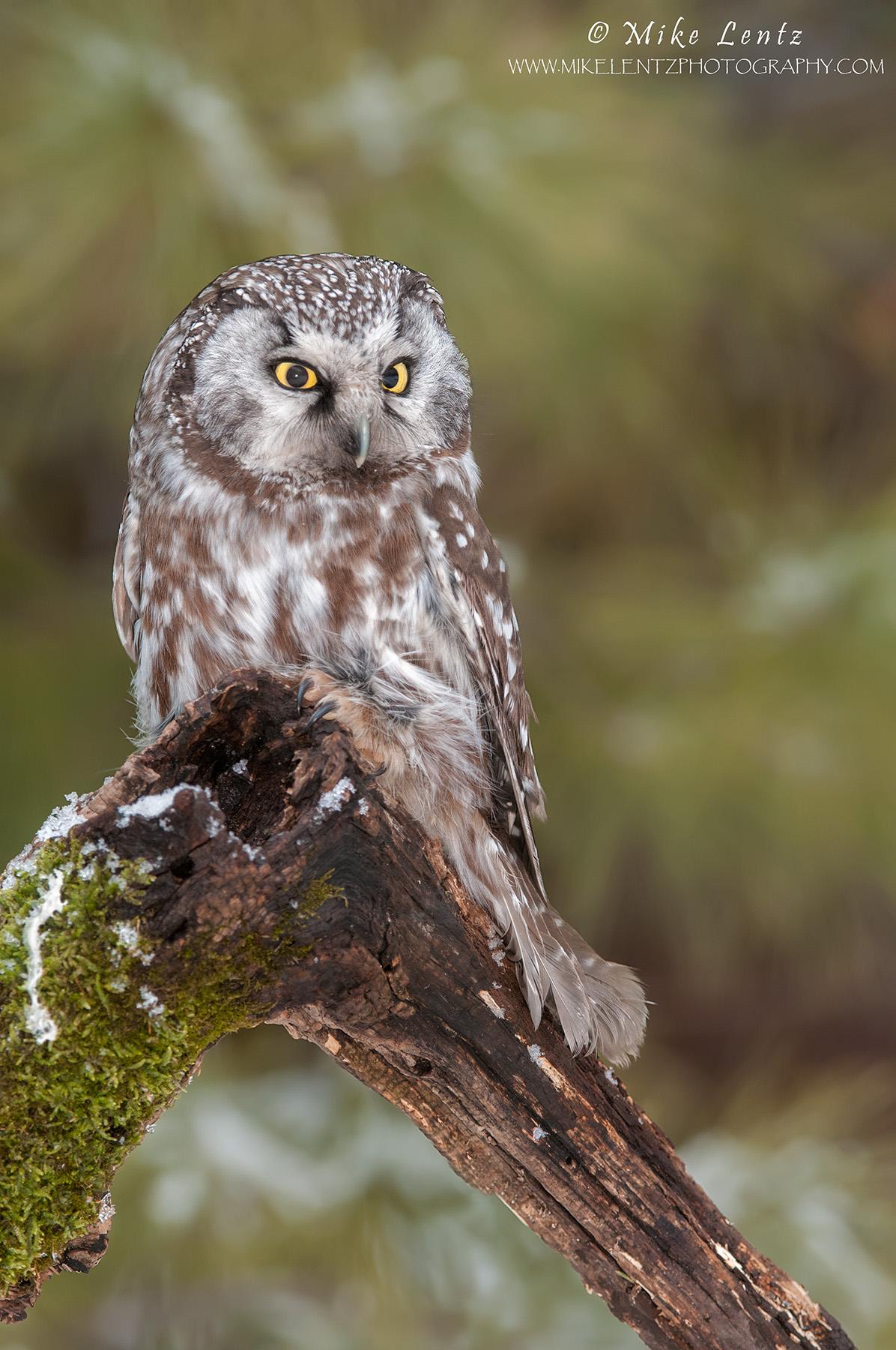 Boreal Owl on mossy log